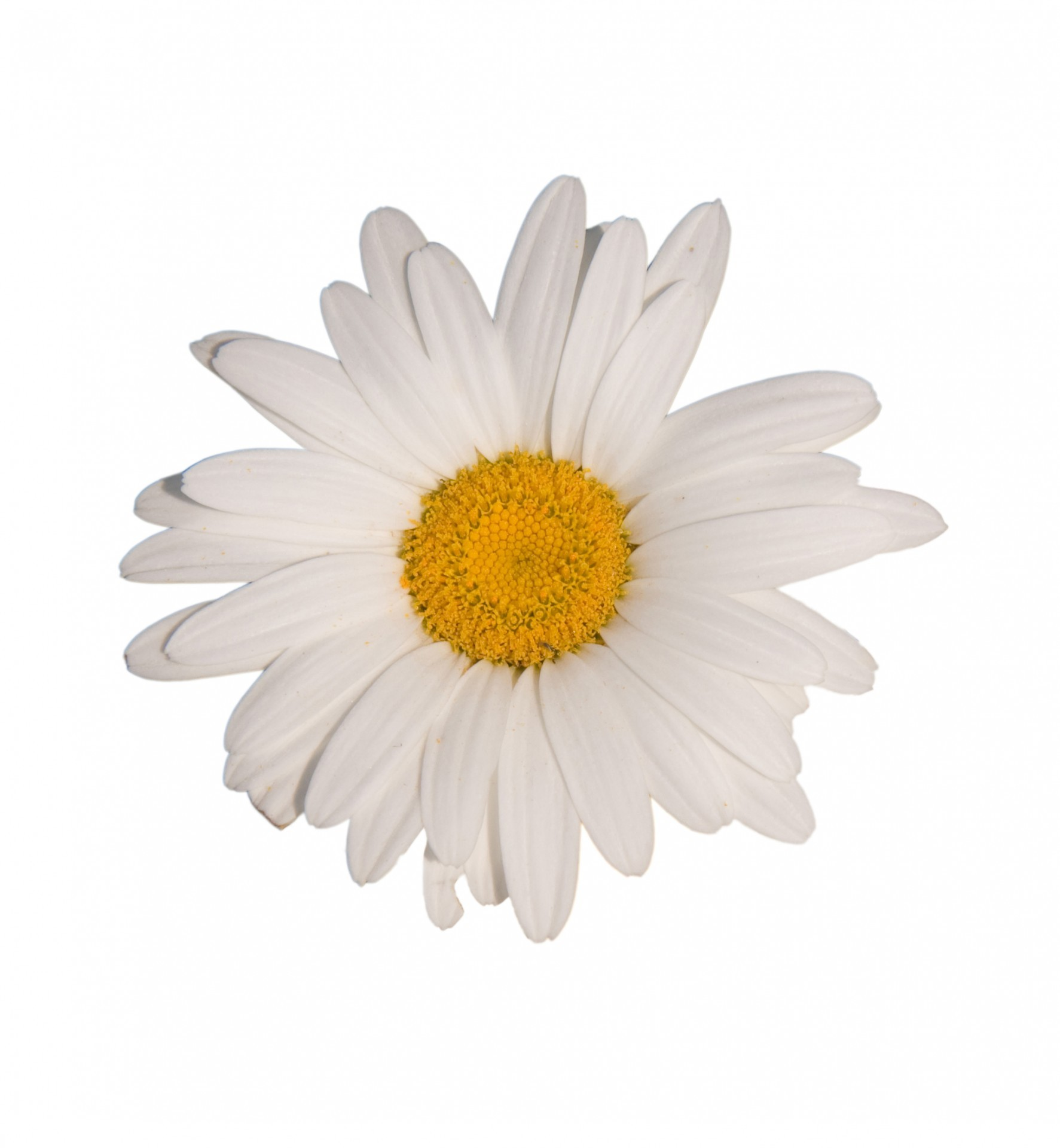 Flower white background download free hd wallpapers for desktop 1773x1920 daisy flower white background download purple mightylinksfo