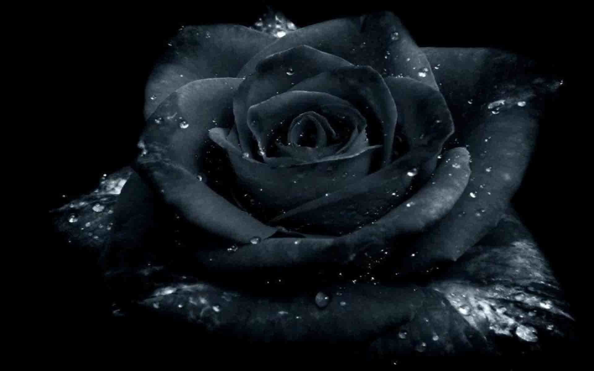 Black Rose Wallpaper ·① WallpaperTag