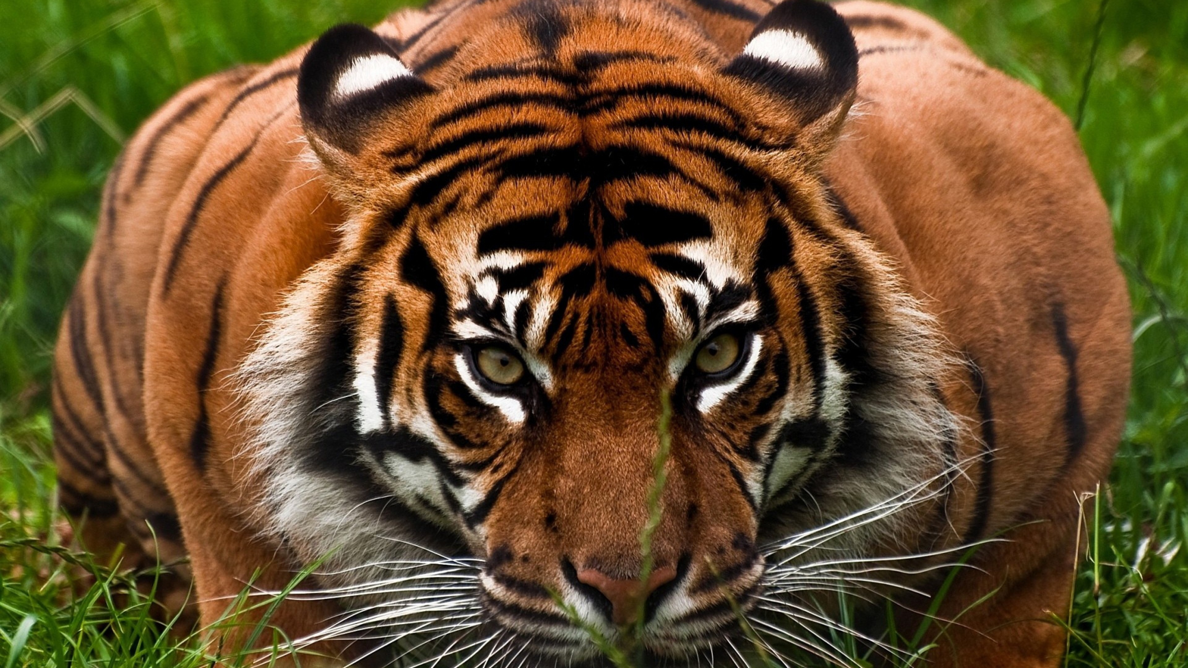 Tiger Face Wallpaper ·① WallpaperTag