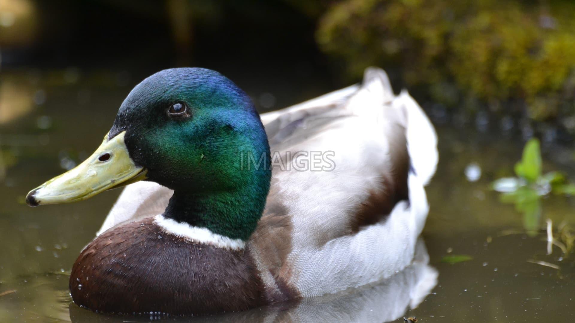 Mallard Duck Wallpaper ·① WallpaperTag