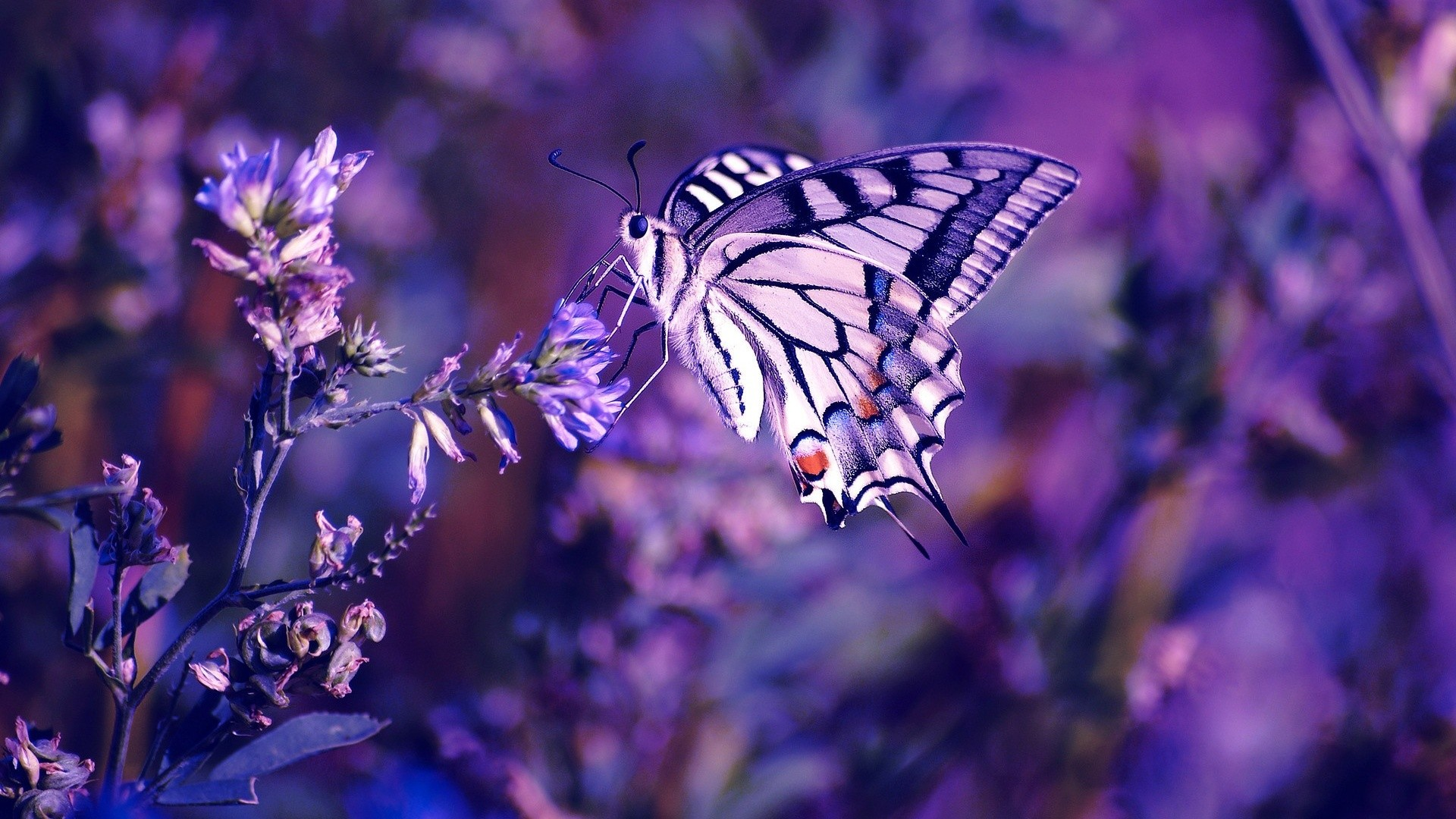 Beautiful Butterfly Wallpaper 1