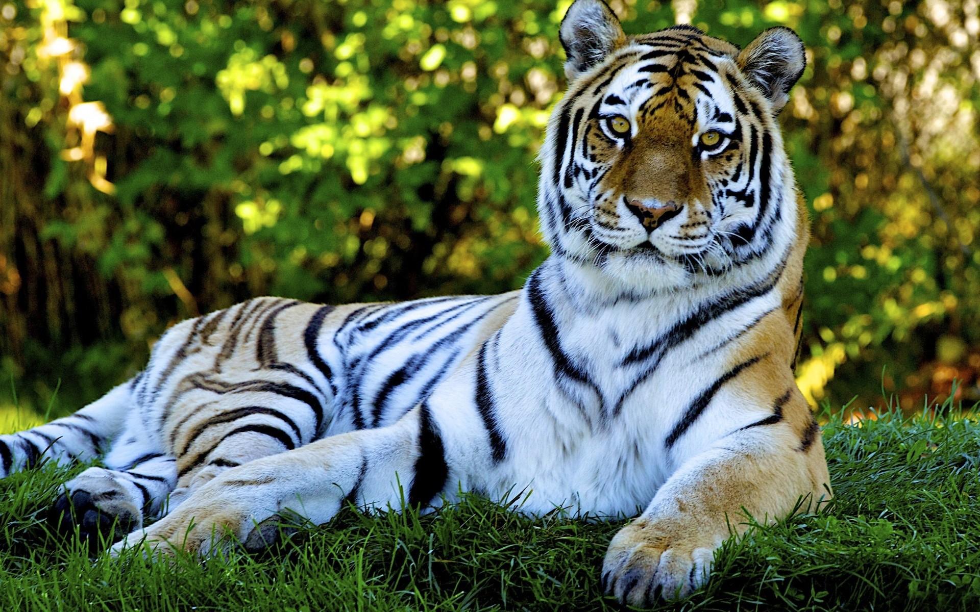 тигры трава природа  № 2011148 без смс
