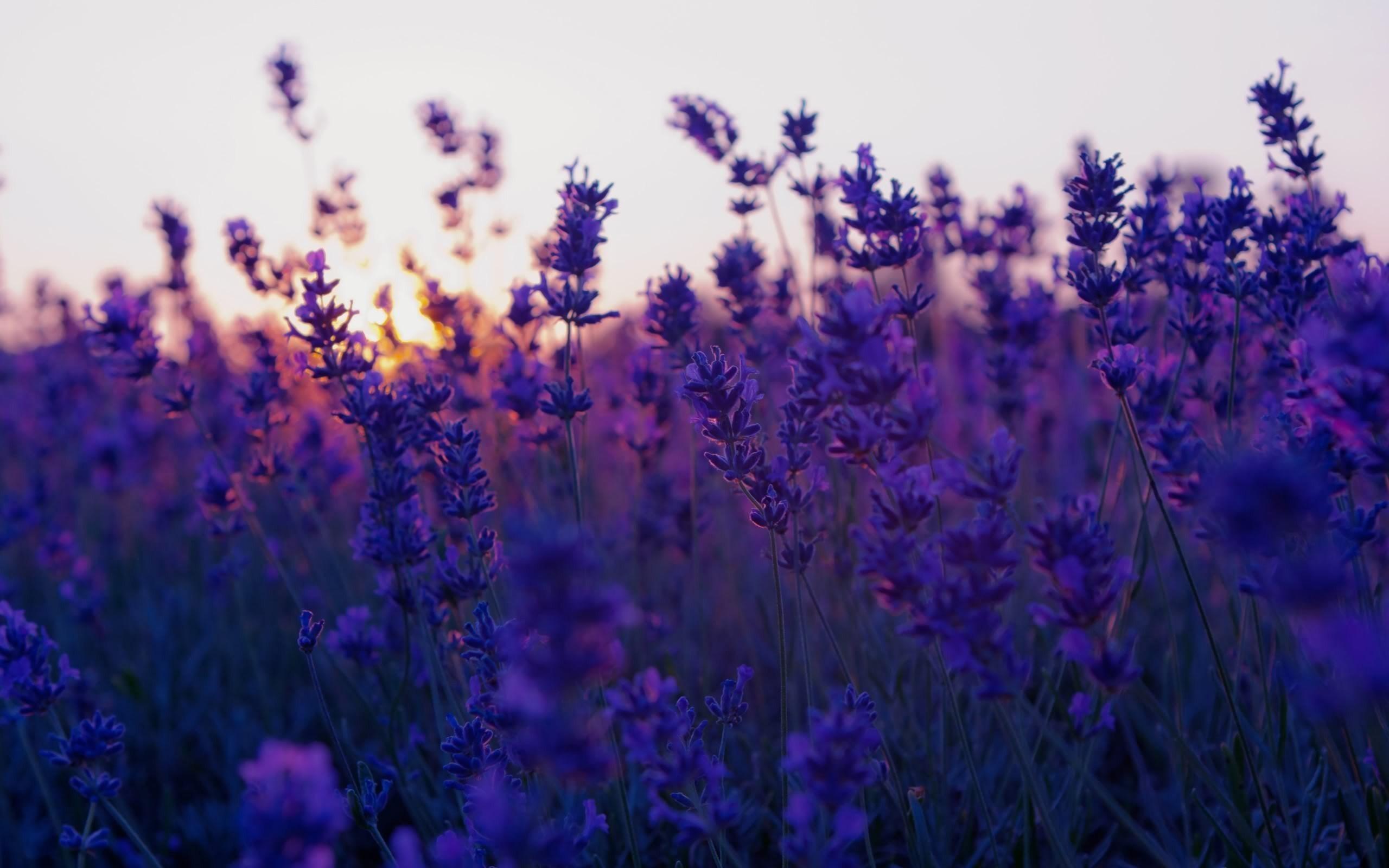 Purple Flowers Wallpaper 1