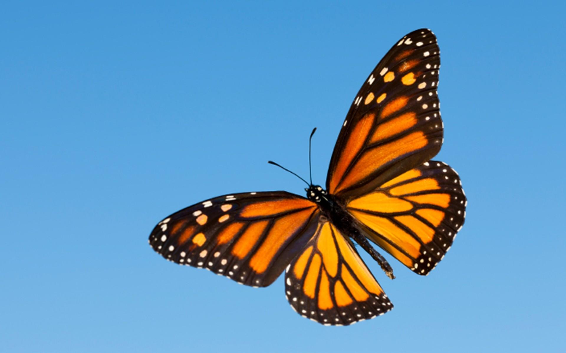 butterfly wallpaper download free beautiful full hd wallpapers