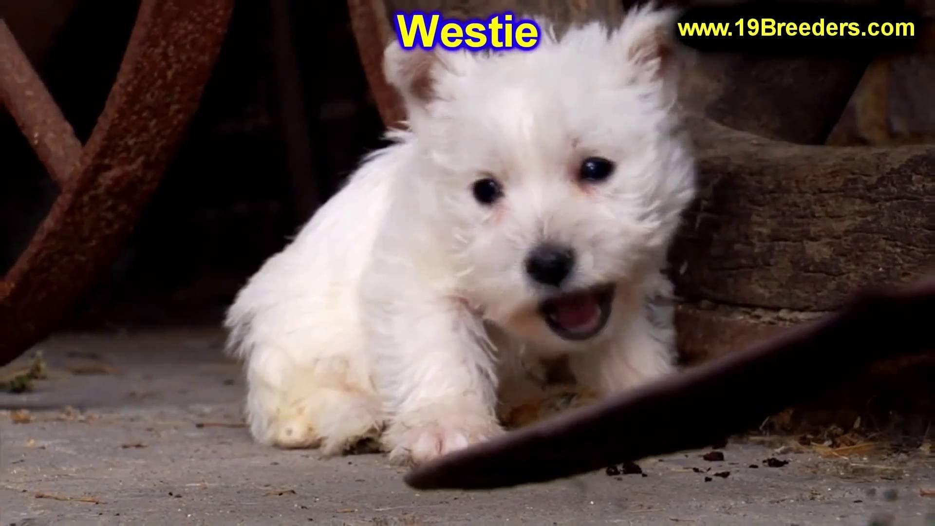 Westie Wallpaper ① Wallpapertag