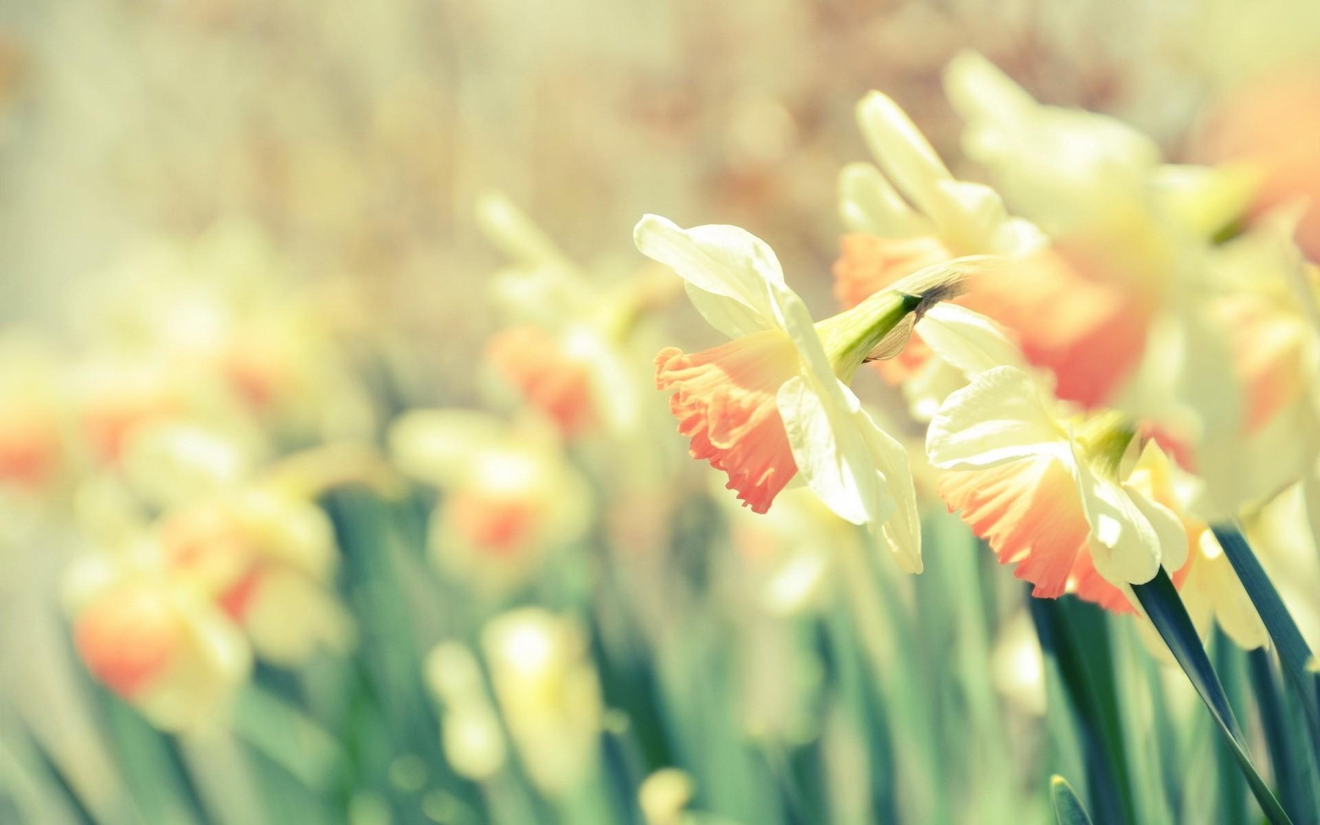 1920x1200 romantic screensaver cute daffodils hd desktop wallpaper hd desktop