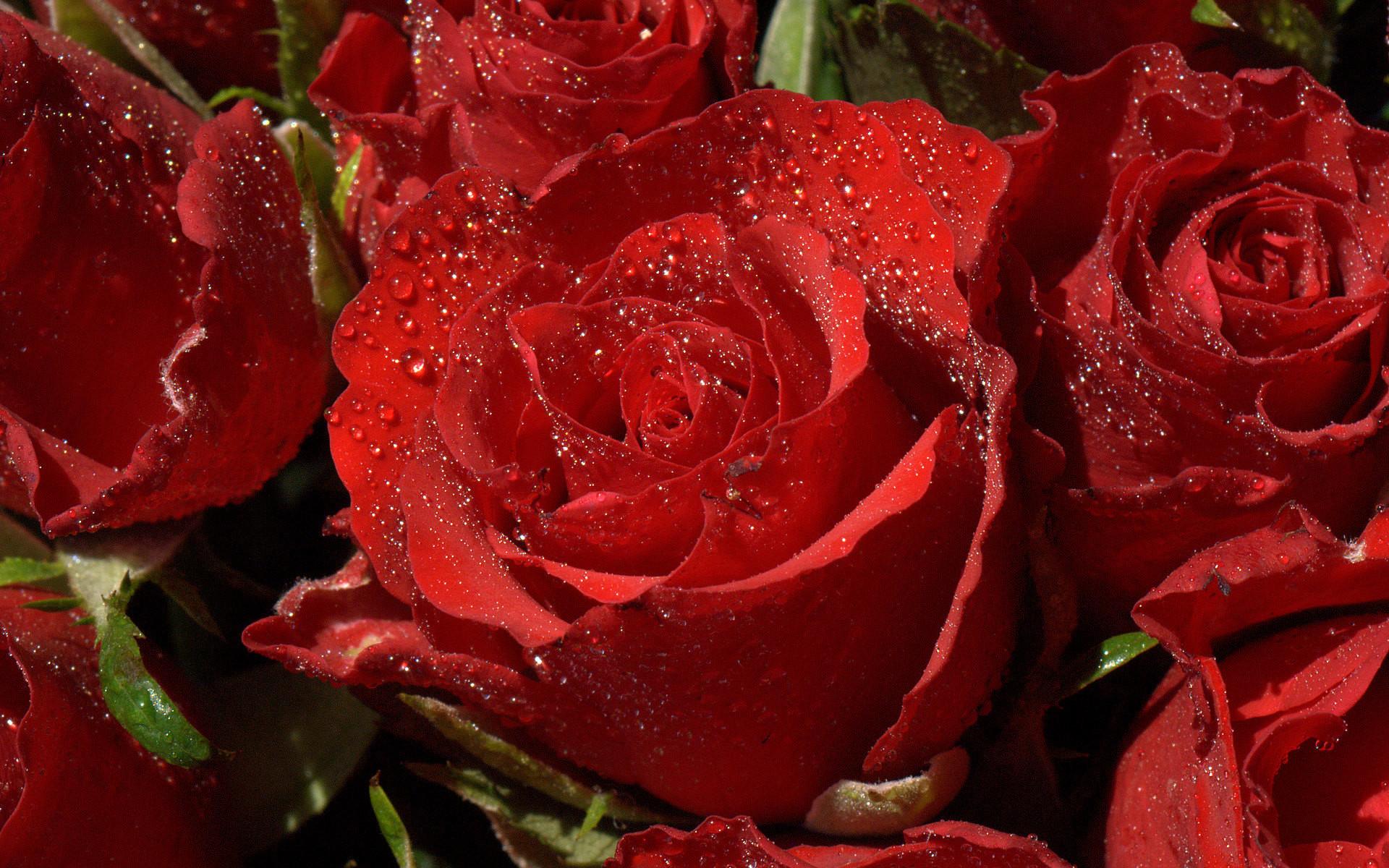 Red roses wallpapers for desktop wallpapertag - Rose desktop wallpaper hd ...