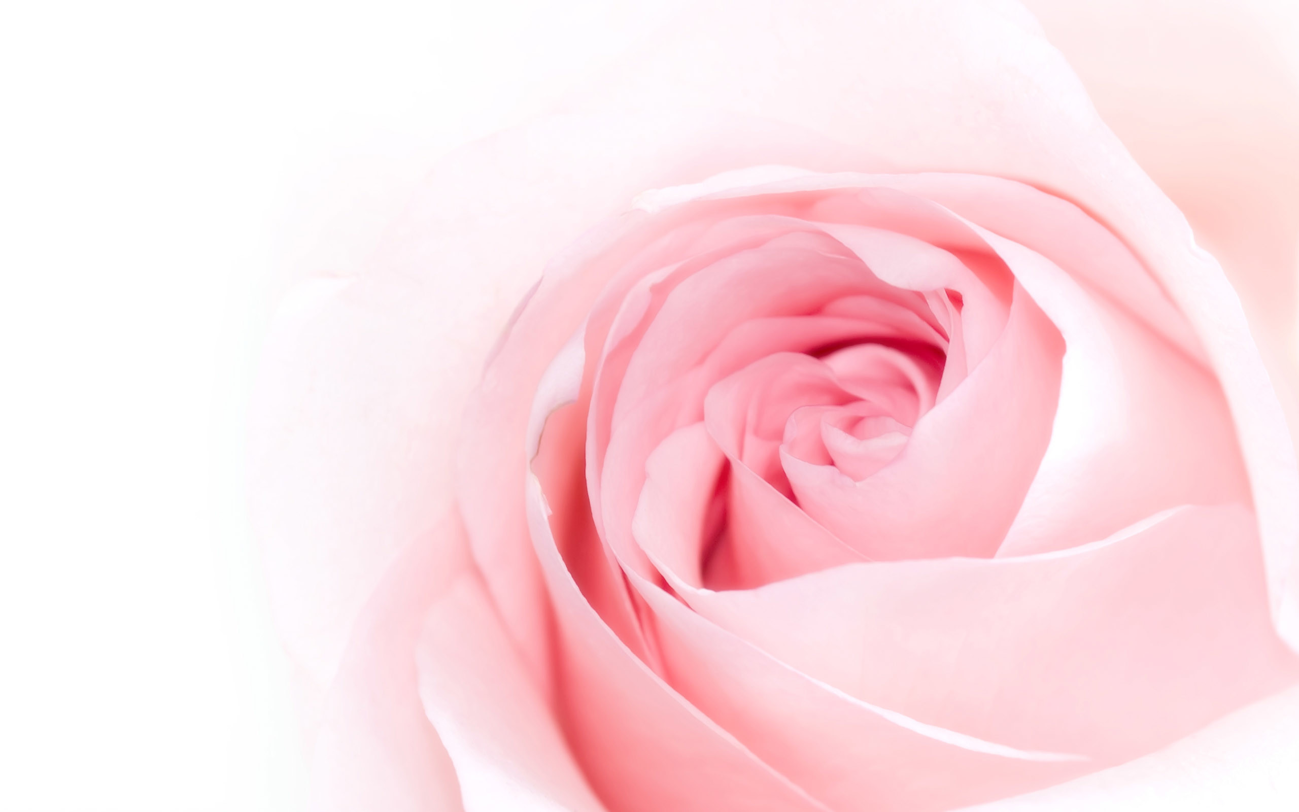 Pink Rose Background ·① WallpaperTag