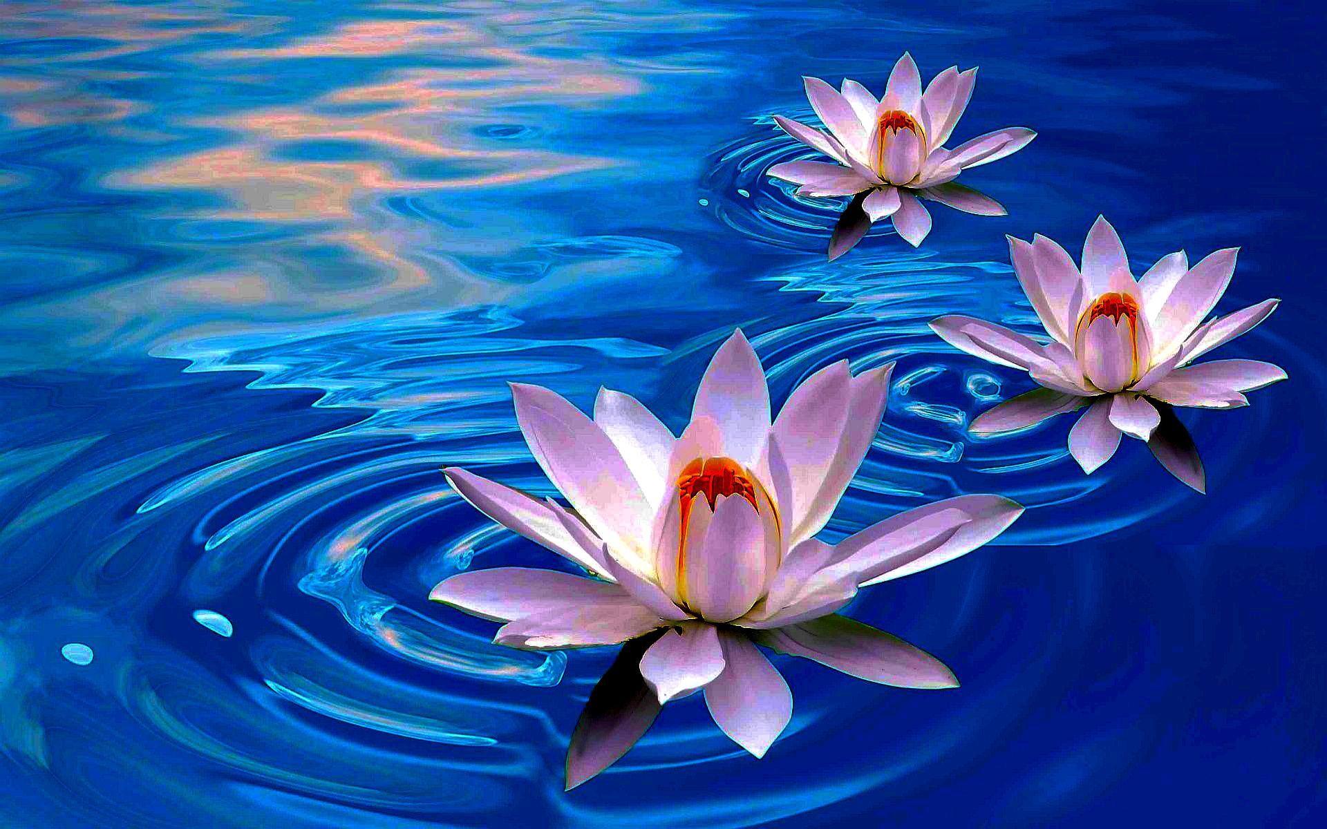 Lotus flower wallpapers nature wallpaper with beautiful white lotus flower mightylinksfo