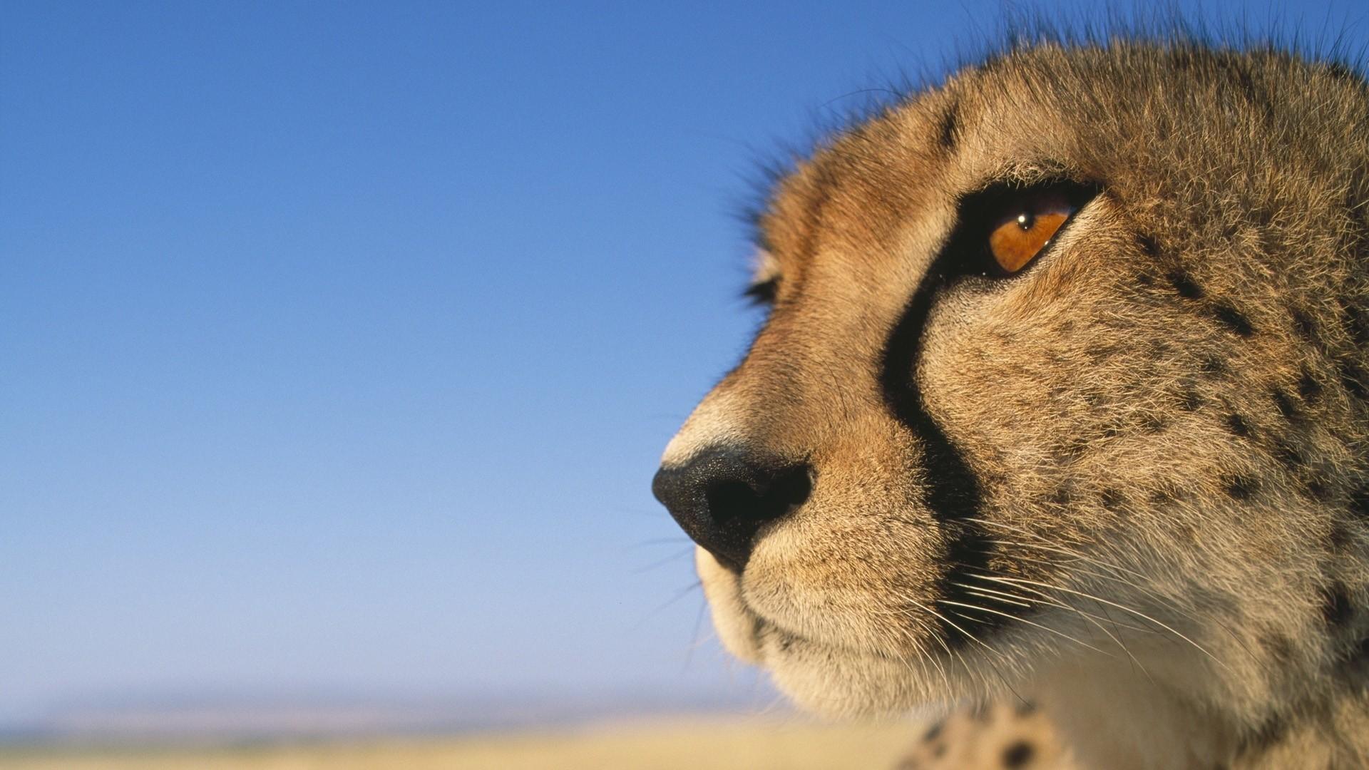 cheetah wallpaper 183��