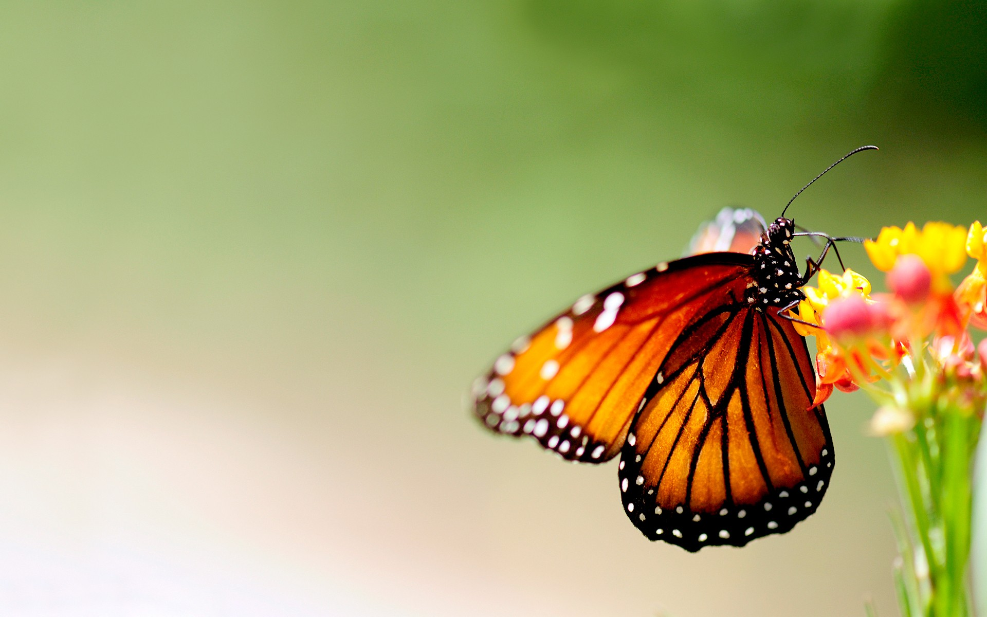 Butterflies wallpaper ·① Download free cool full HD ...