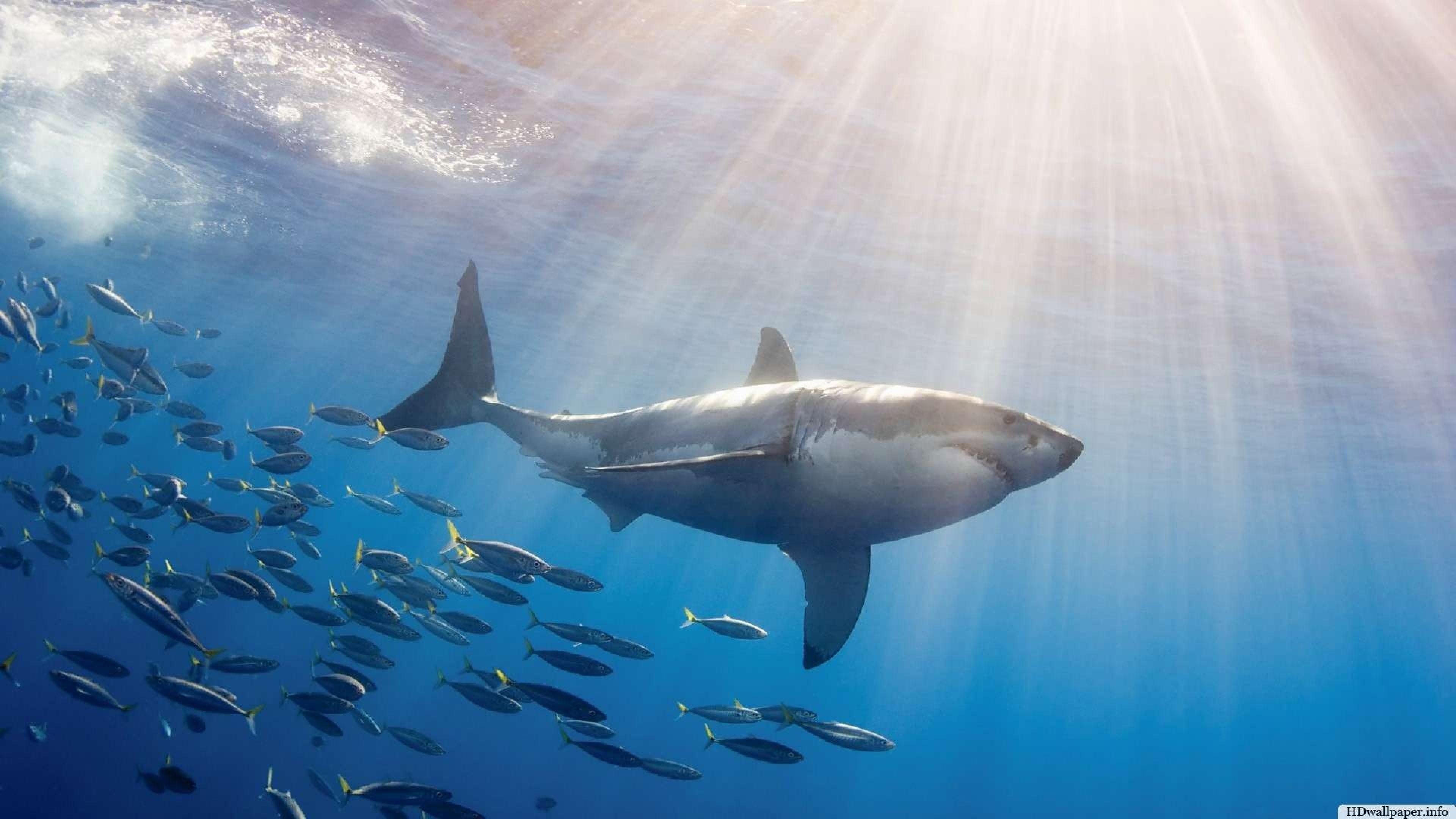 Great White Shark Wallpaper HD