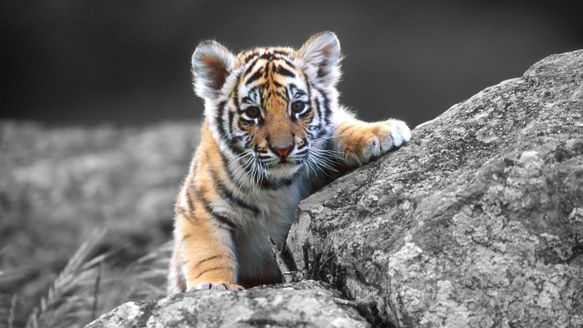 hd wallpapers tiger for mobile