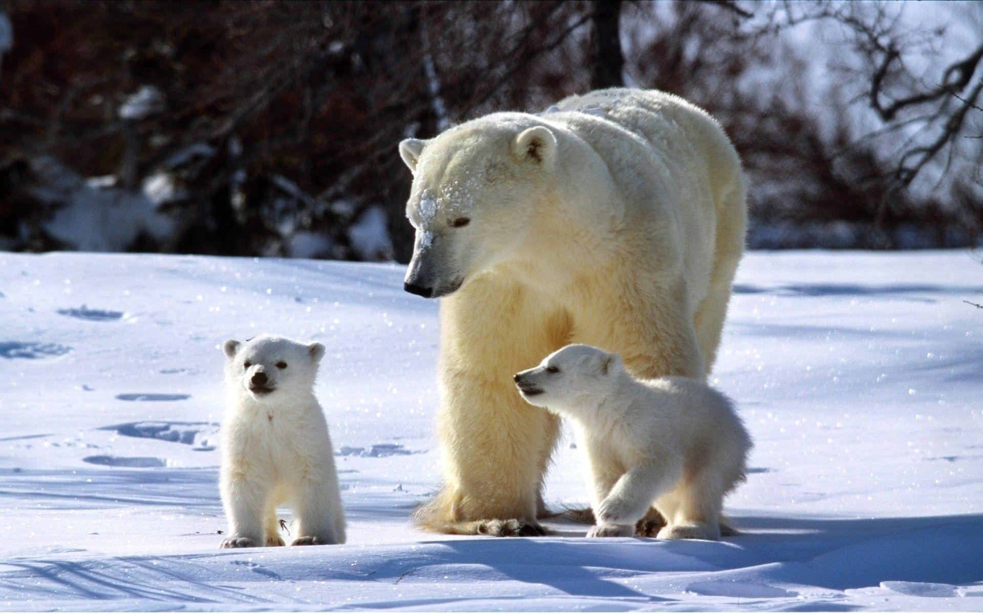 Baby Polar Bear Wallpaper