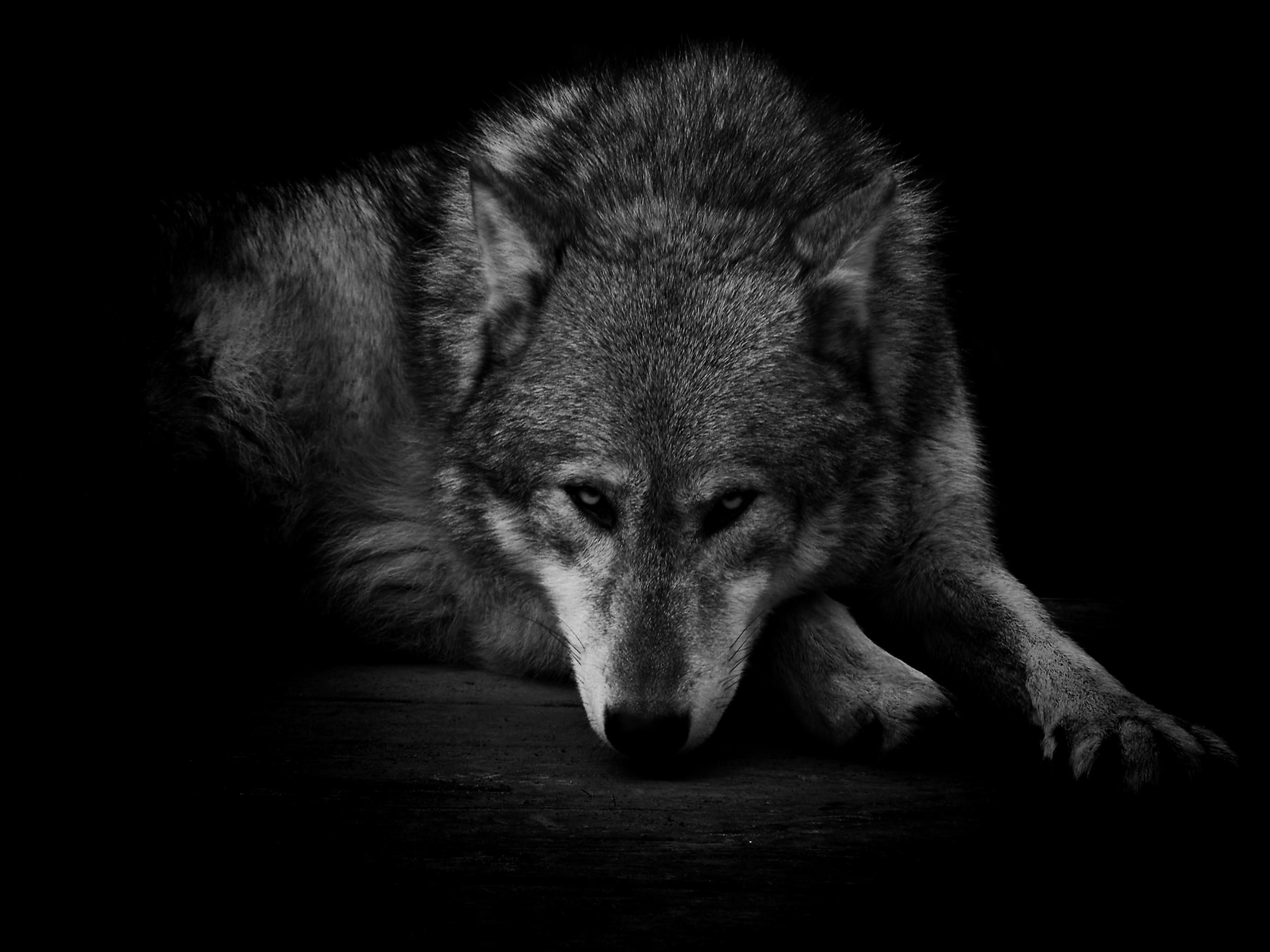Great Wallpaper Abstract Wolf - 497898-large-black-wolf-wallpapers-2756x2067  HD_145149 .jpg