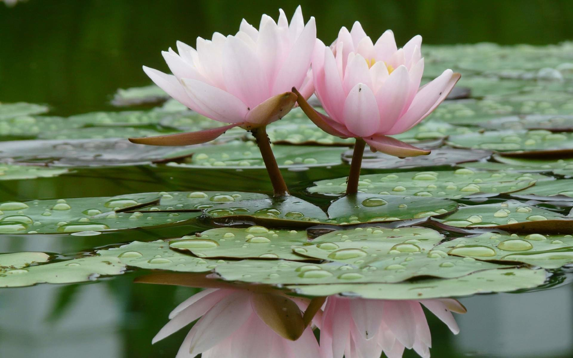 Lotus flower wallpaper lotus flower wallpapers desktop izmirmasajfo