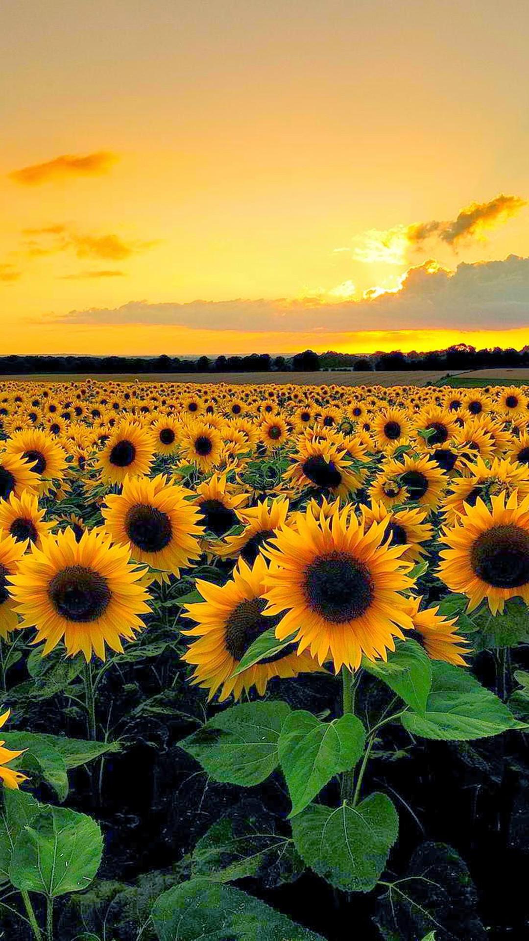 Sunflowers Wallpaper ·① WallpaperTag