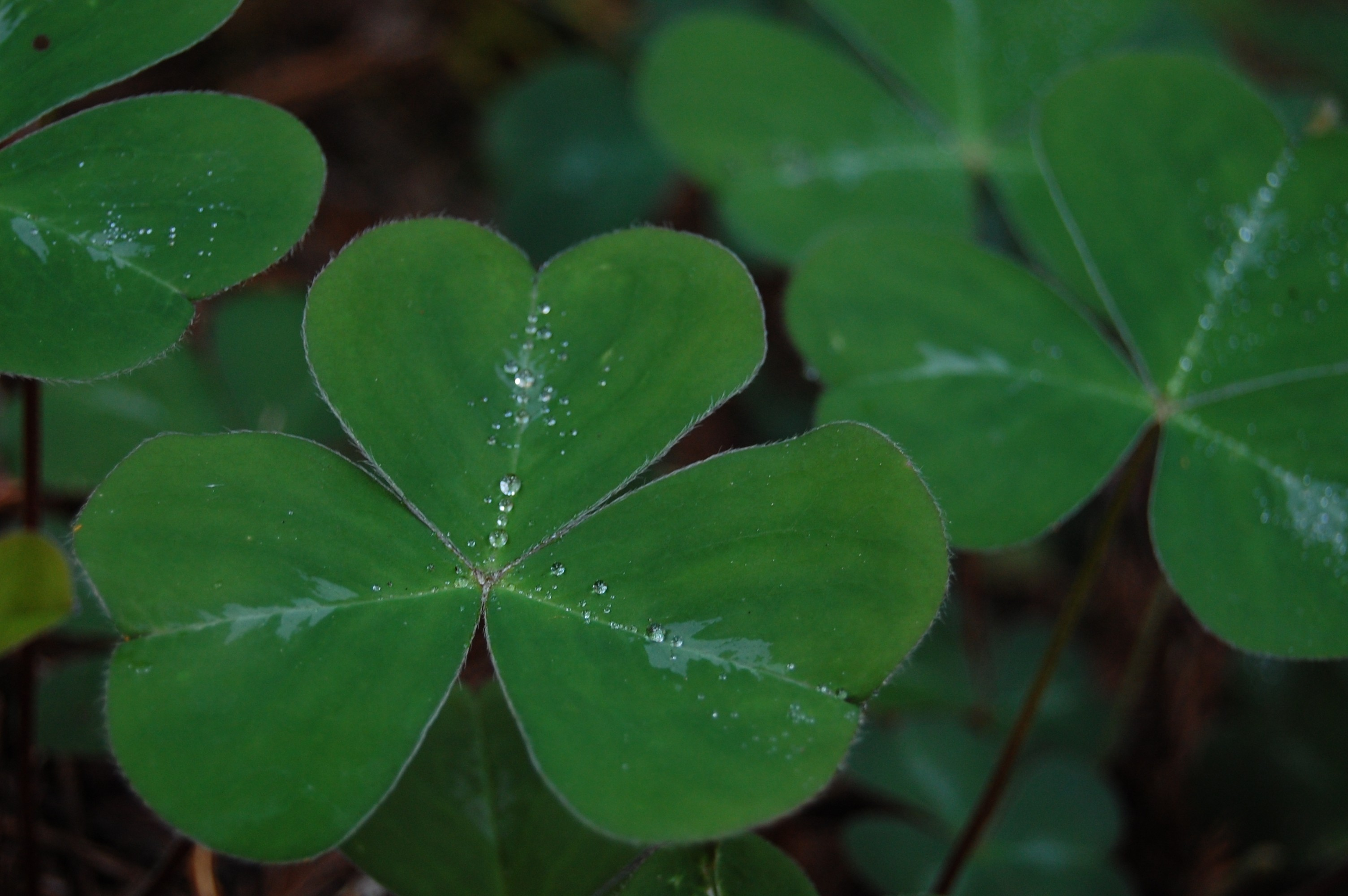 Shamrock Background Download Free Awesome Hd Wallpapers