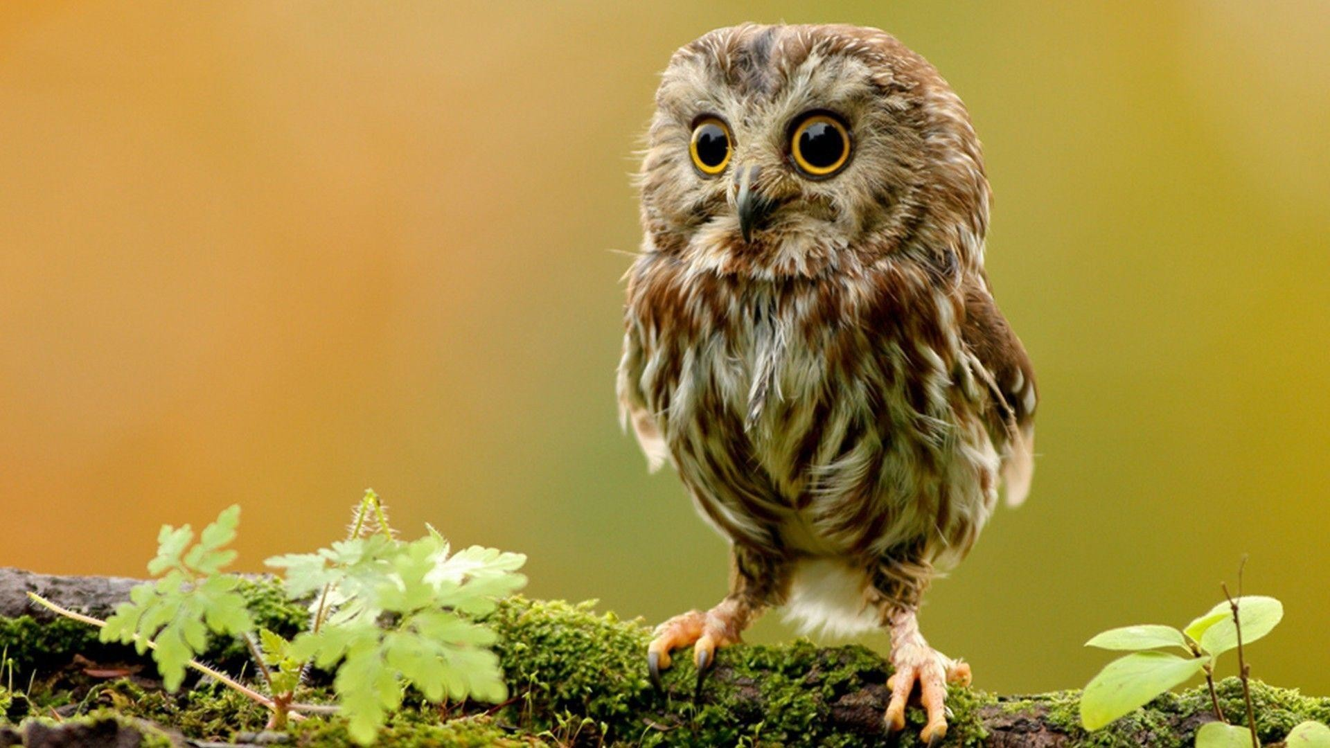 Cute owl wallpaper 1920x1080 cute owl wallpaper download wallpapers voltagebd Image collections