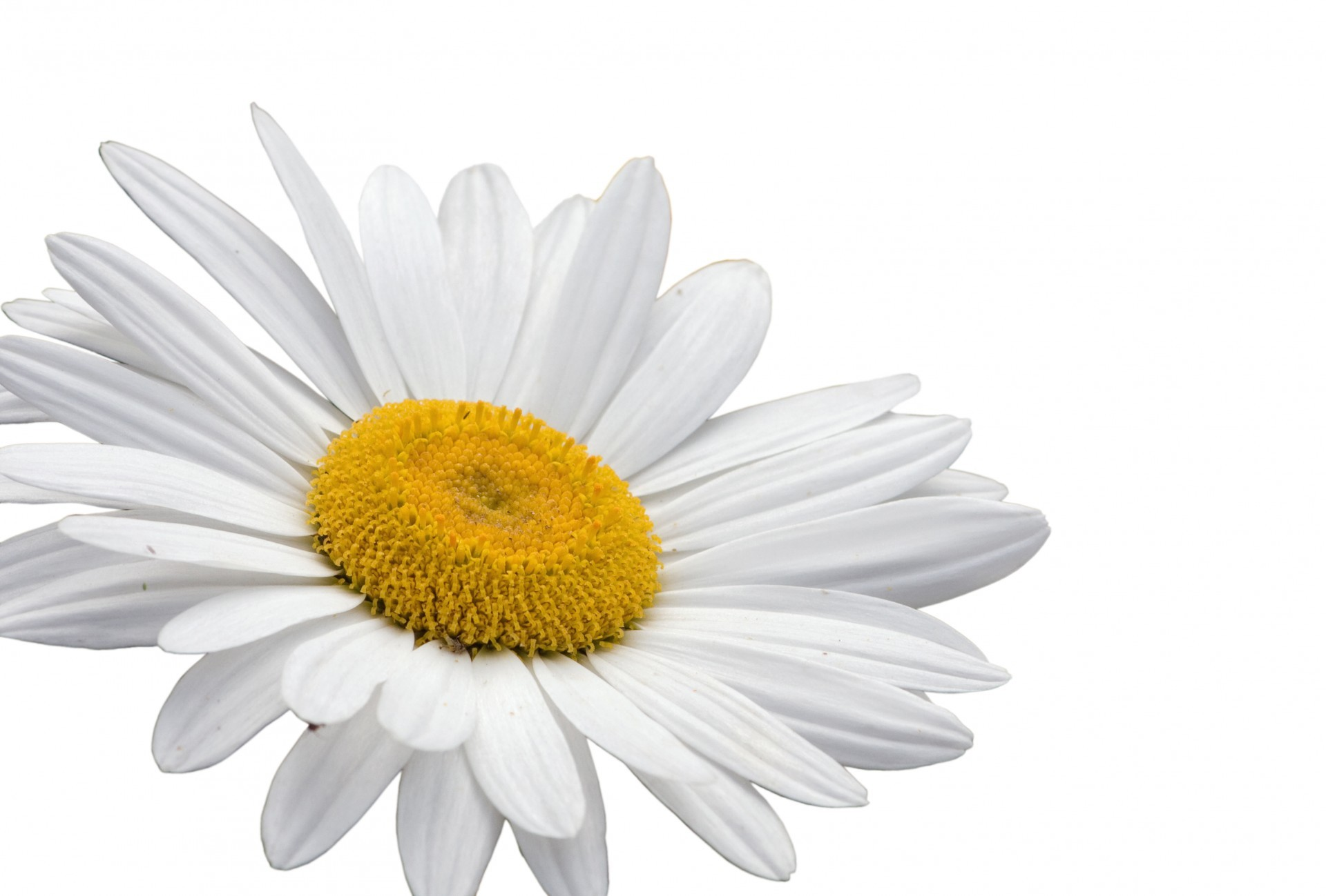 Flower White Background Download Free Hd Wallpapers For Desktop