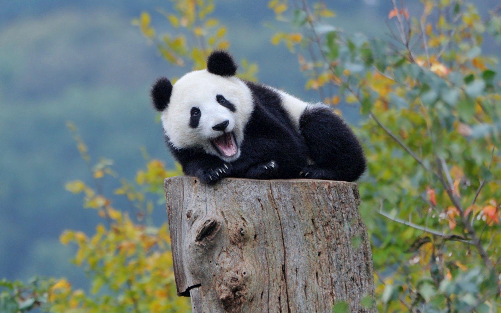 Baby Panda Wallpapers ·① WallpaperTag