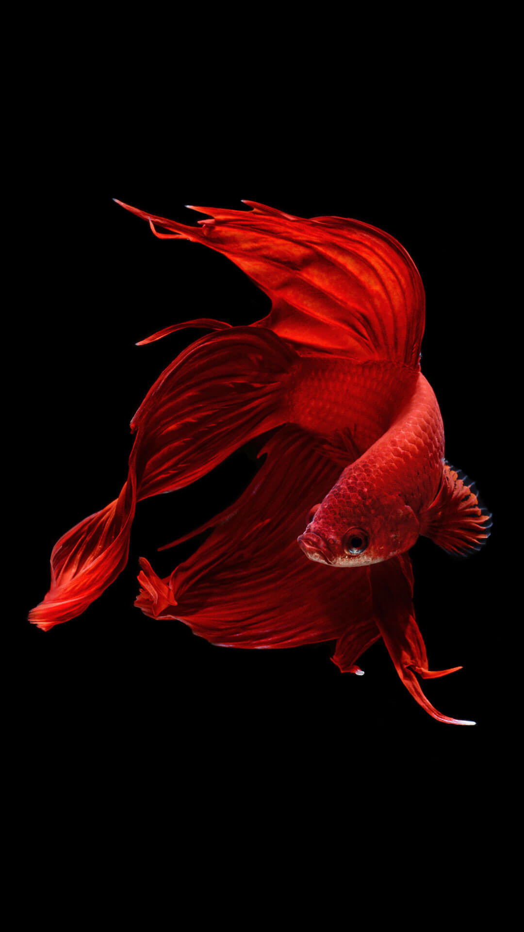 1080x1920 Betta Fish IPhone 6 And 6s Wallpaper HD
