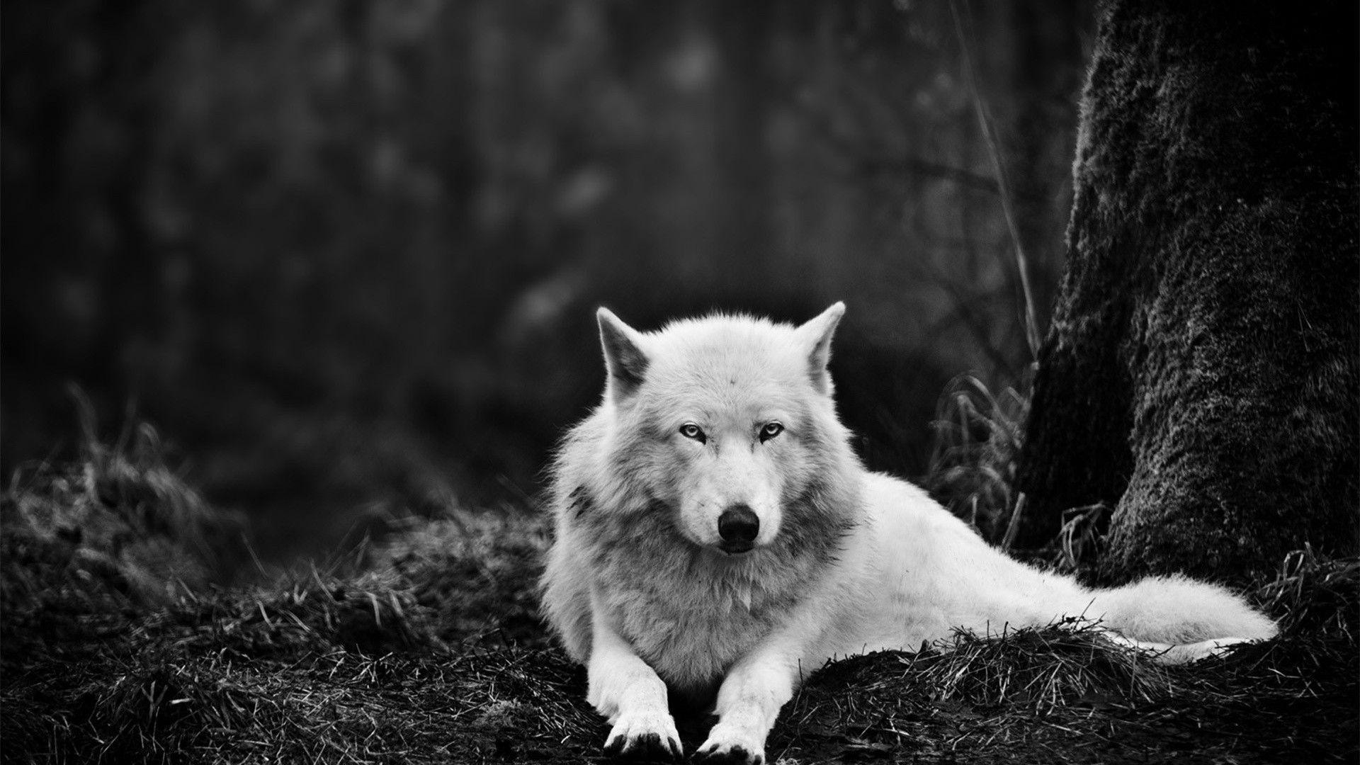 Lone Wolf Wallpaper 1
