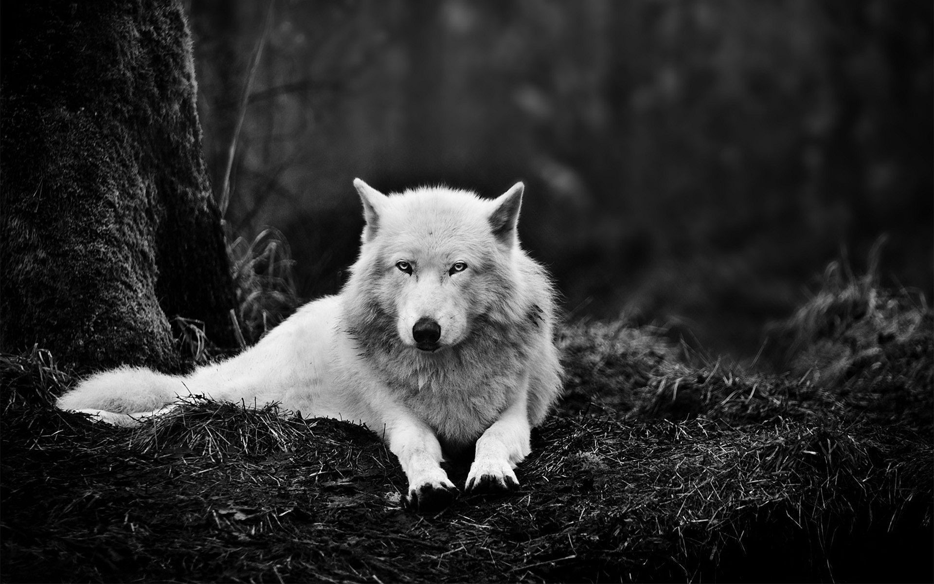 Wolf Desktop Background Pictures Wallpapertag