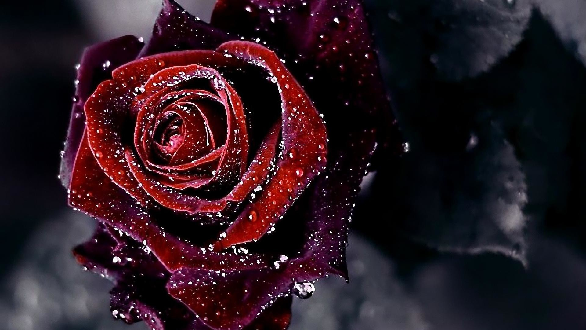 red rose wallpaper images