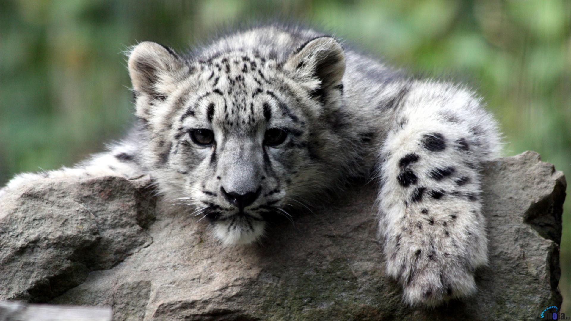 Snow Leopard Backgrounds ·① WallpaperTag