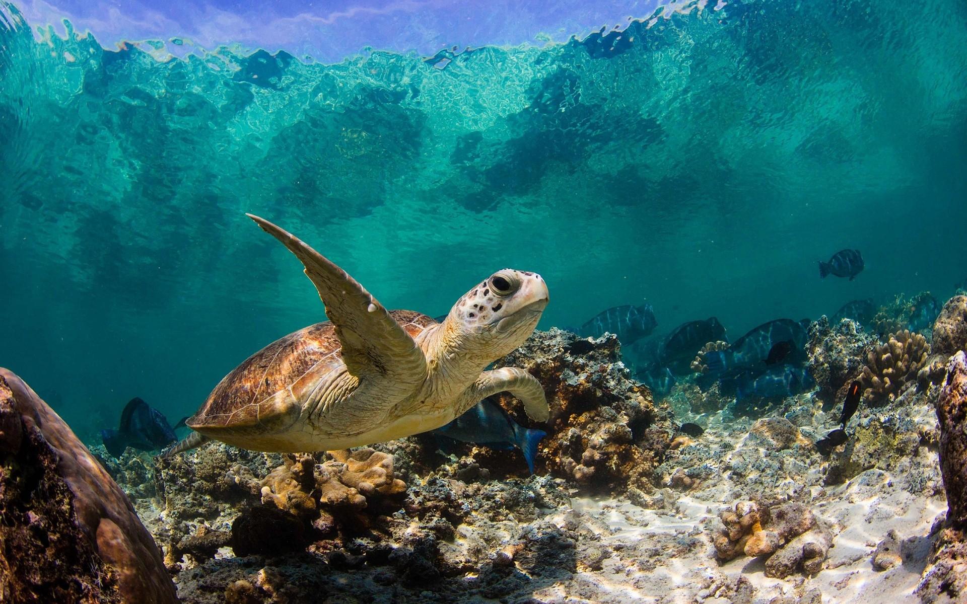 Sea Turtles Wallpaper ·① WallpaperTag