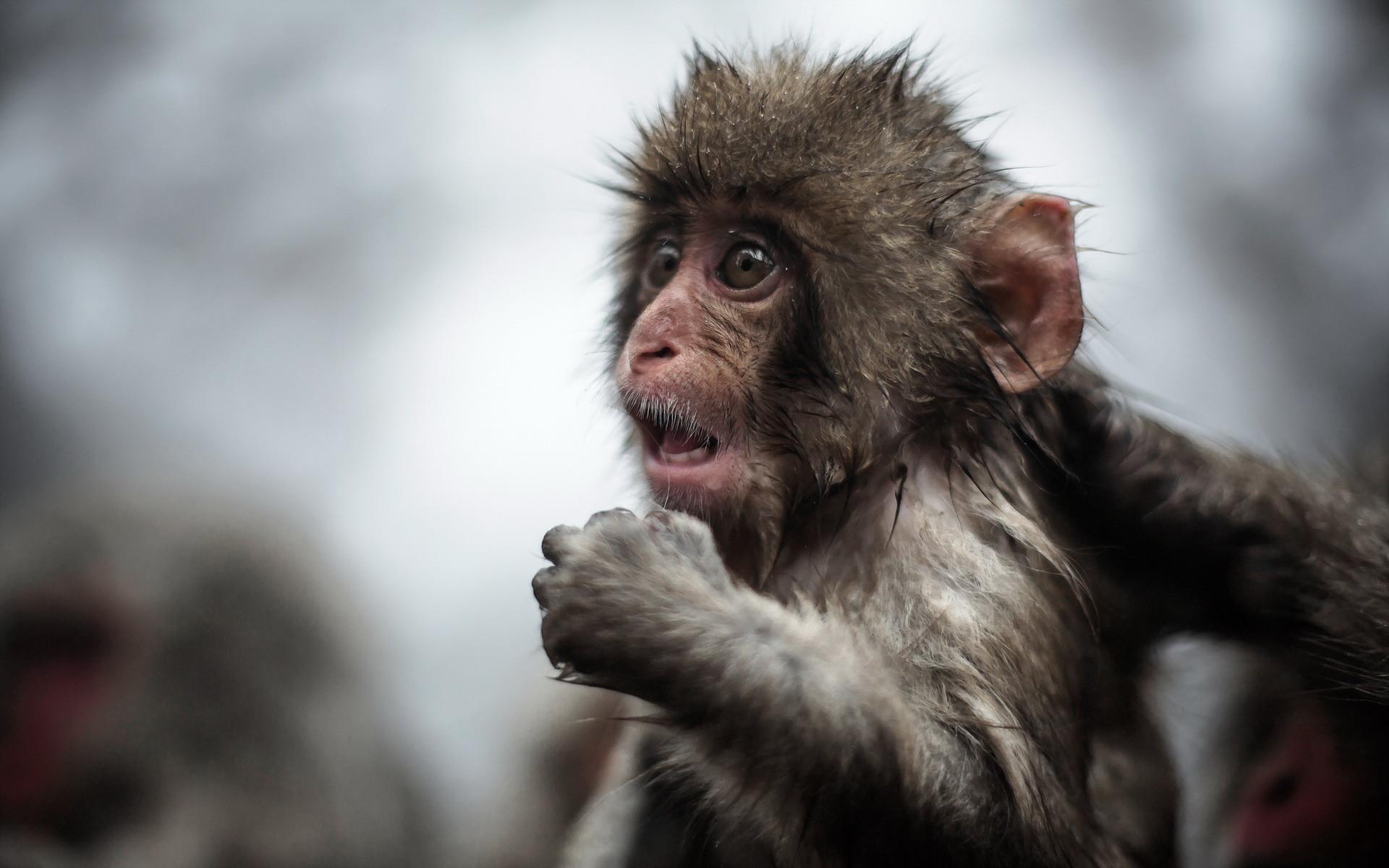 Funny Monkey Free
