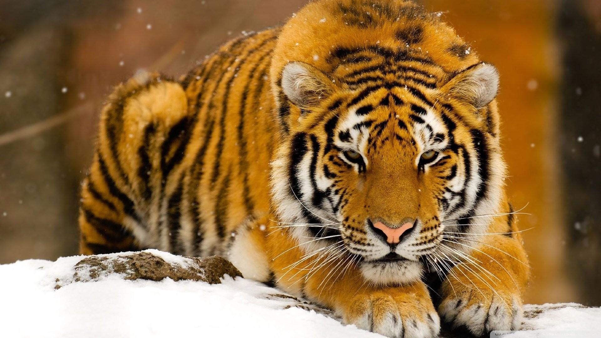 1920x1080 tiger wallpaper 1920x1080 for hd · Download · new tiger wallpaper 1920x1080 ...