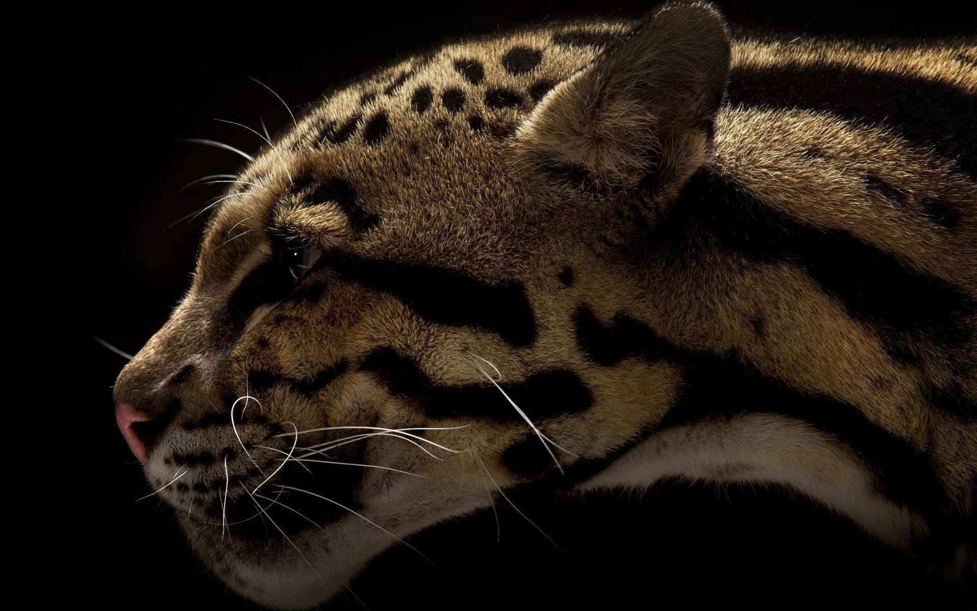 wild cat wallpapers ·①