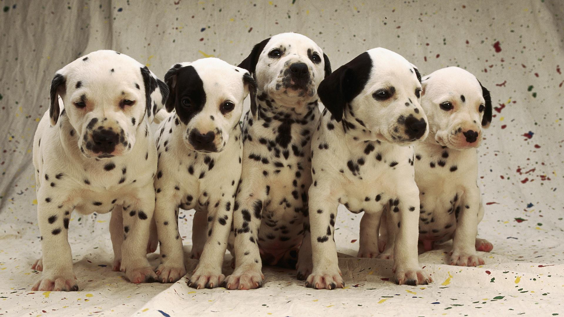 Dalmation Dog Widescreen Wallpaper 2560x1600