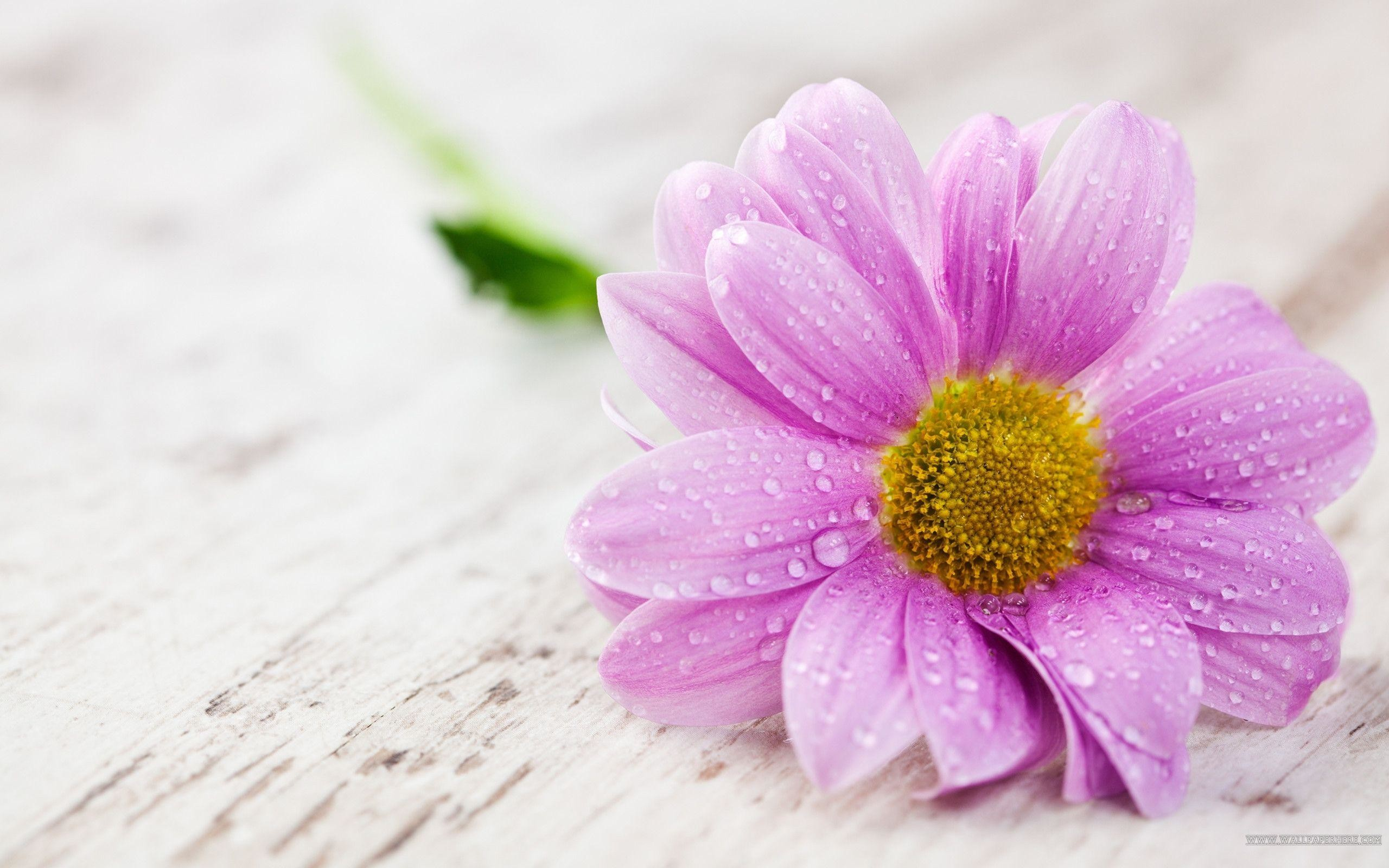 Single Flower Wallpaper