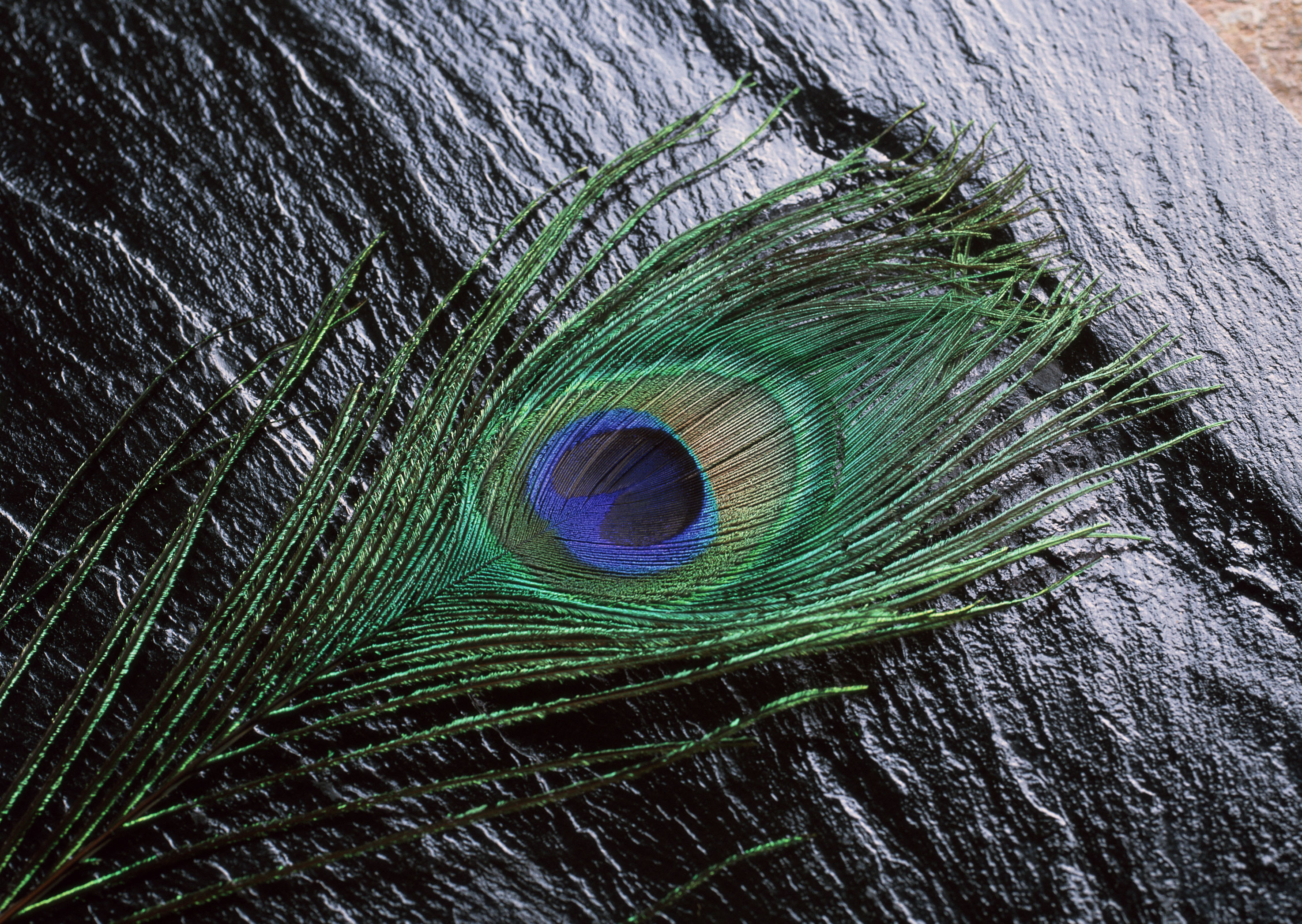 Mor Pankh Hd Wallpaper: Wallpapers Of Peacock Feathers HD ·①