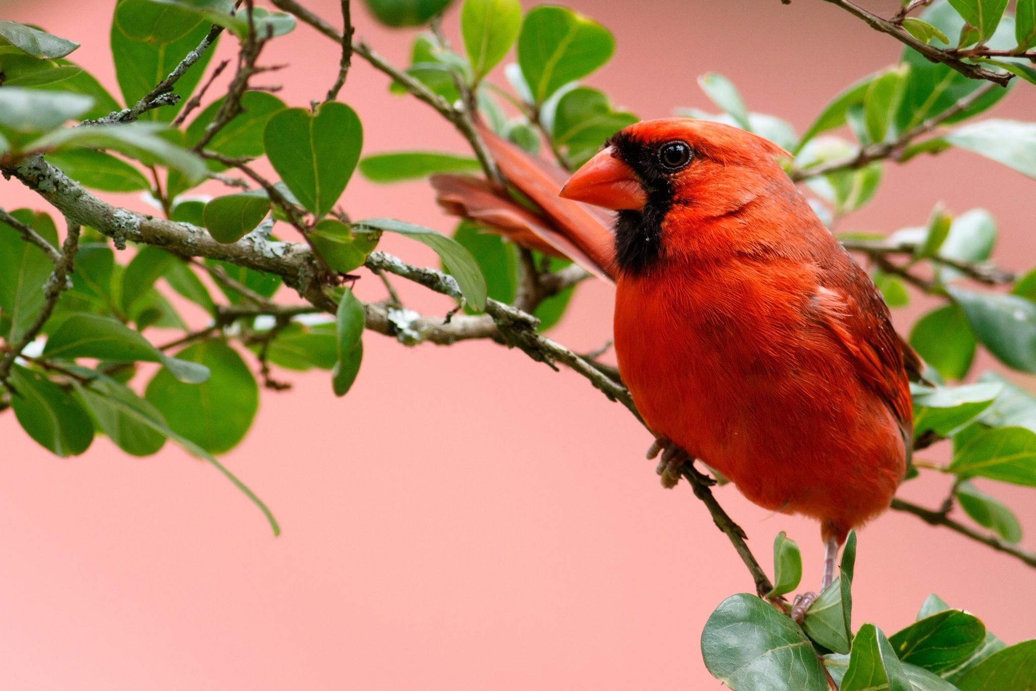 Cardinal Bird Wallpaper ·① WallpaperTag