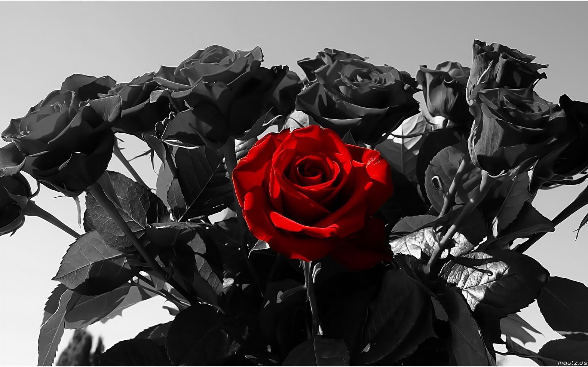 Red rose on black background wallpapertag - Black red rose wallpaper ...