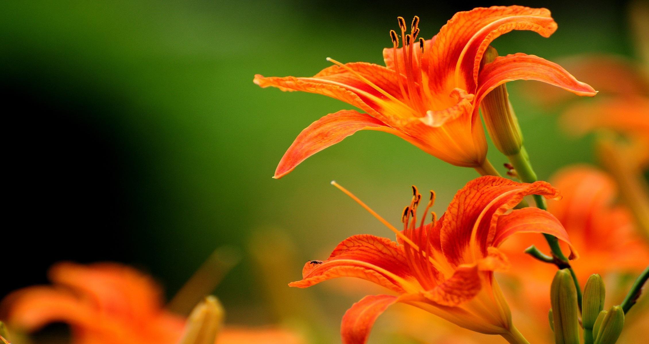 Tiger lily wallpaper download x 1536 izmirmasajfo