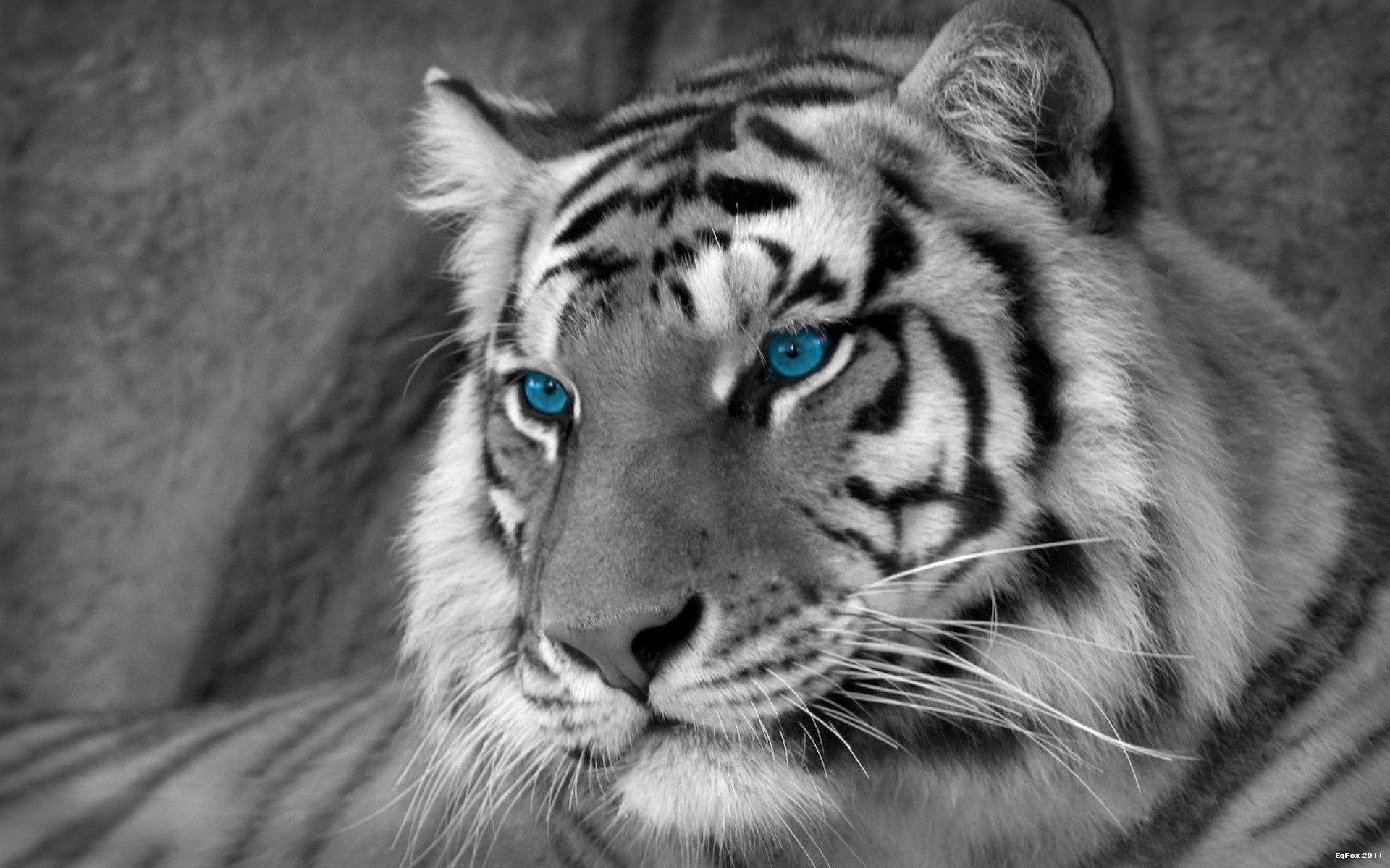 White Tiger Wallpaper 1 Download Free Cool High Resolution