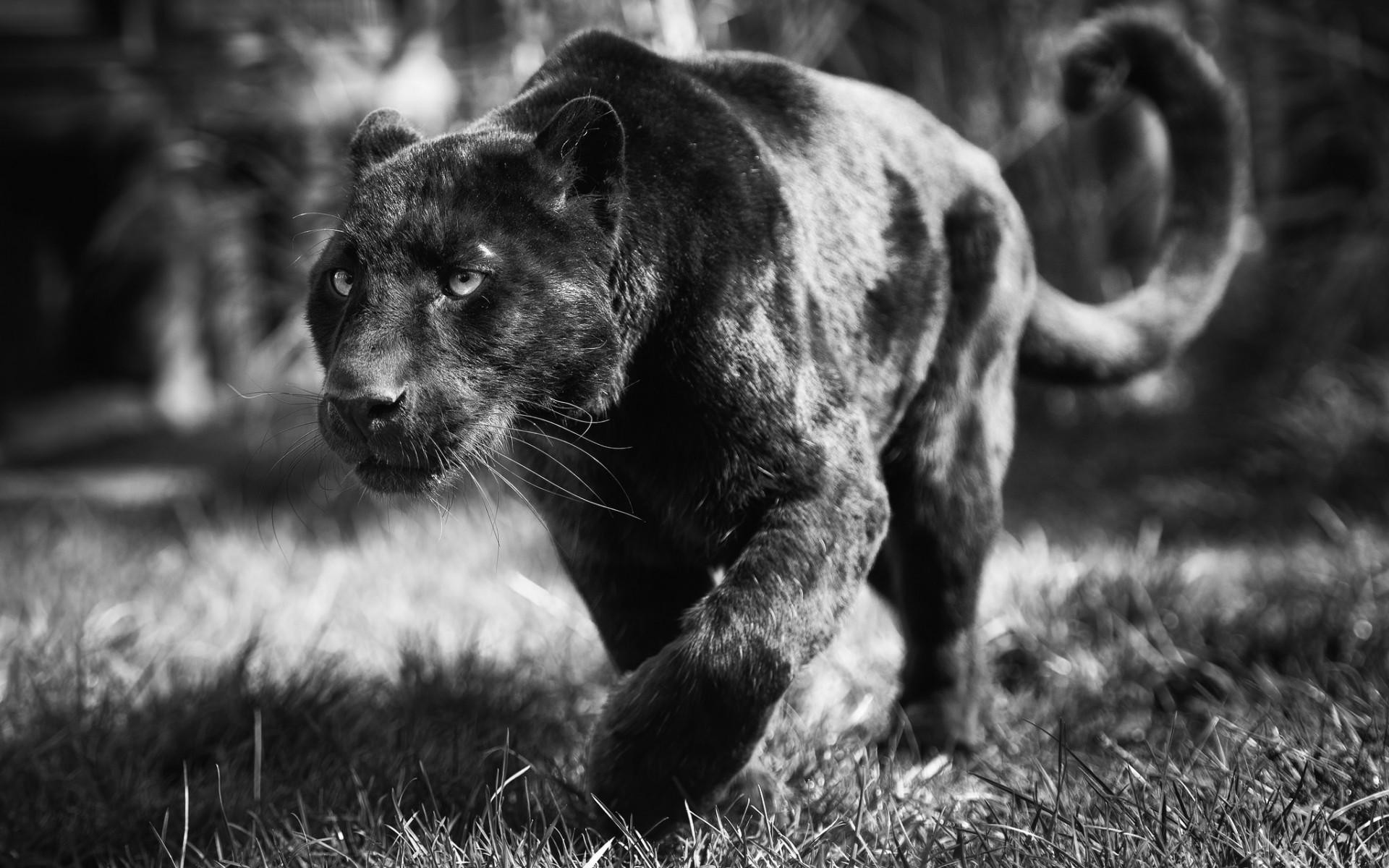 Black Panther Wallpapers ·① WallpaperTag