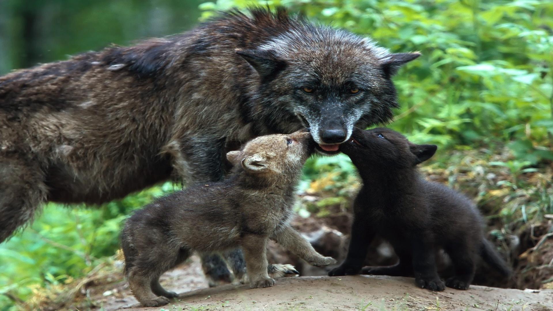 Baby Wolf Wallpaper ·① WallpaperTag