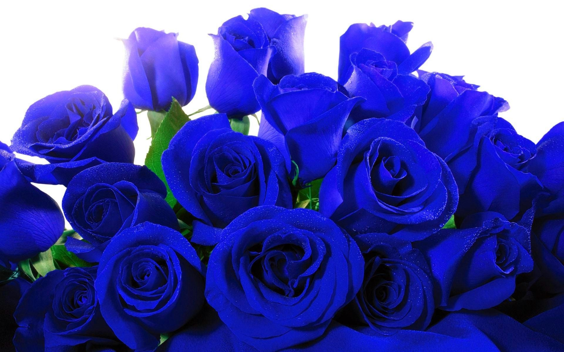 Blue Roses Wallpaper ·① WallpaperTag