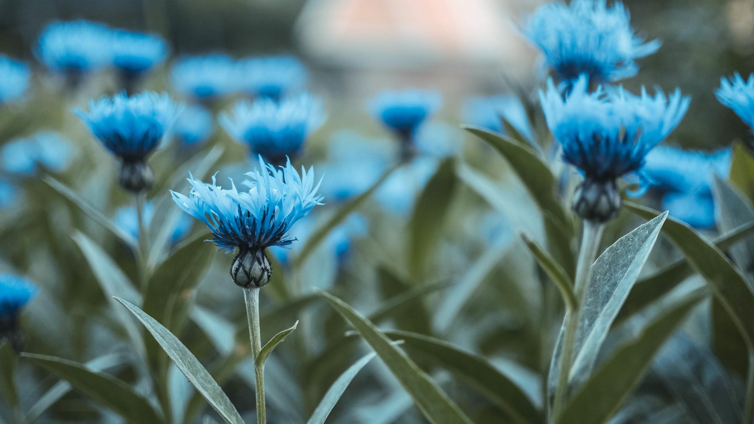 blue flowers wallpaper 183��