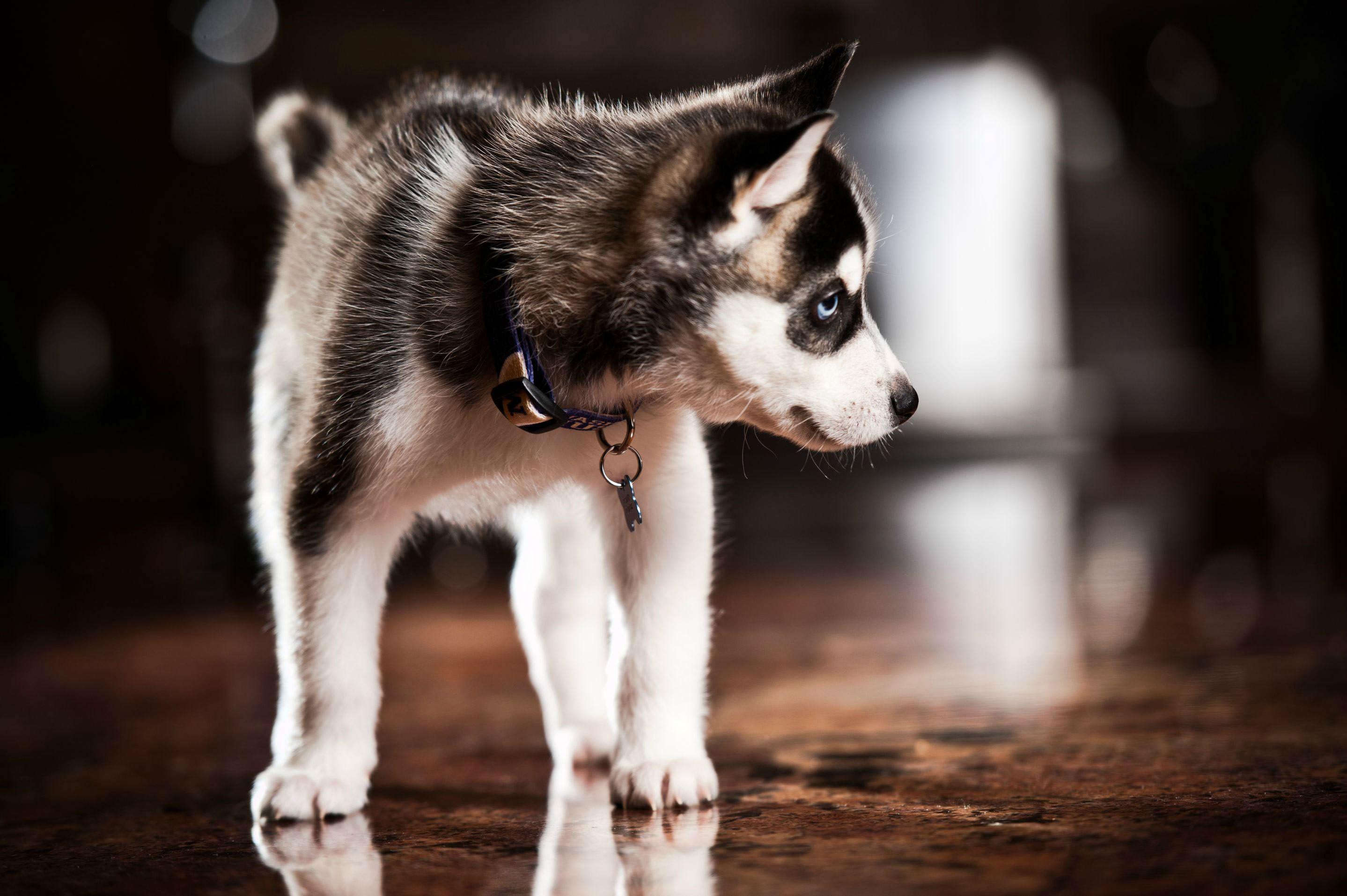природа животное собака морда хаски  № 3886632 бесплатно