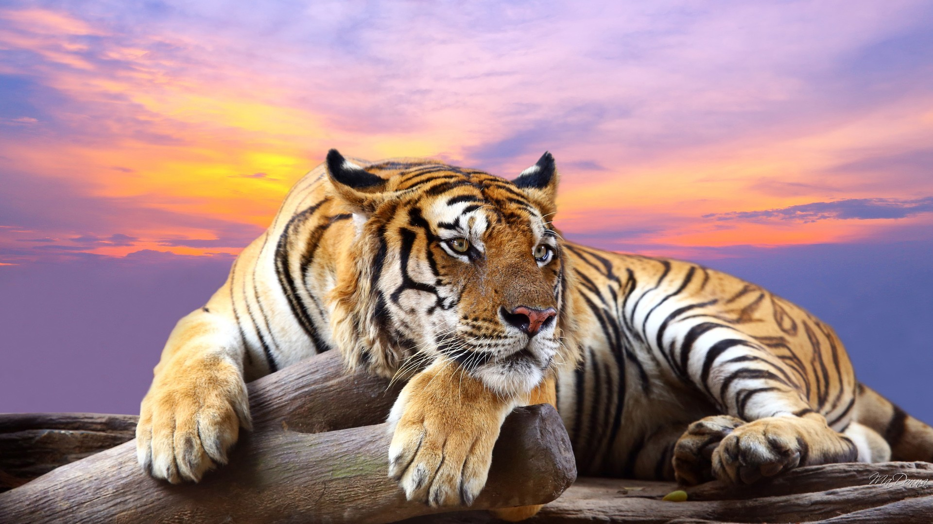 Tiger wallpaper download free awesome high resolution for Sfondi 1920x1080