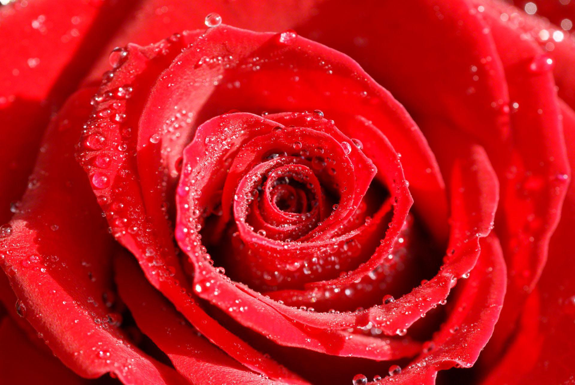 Roses Desktop Wallpaper