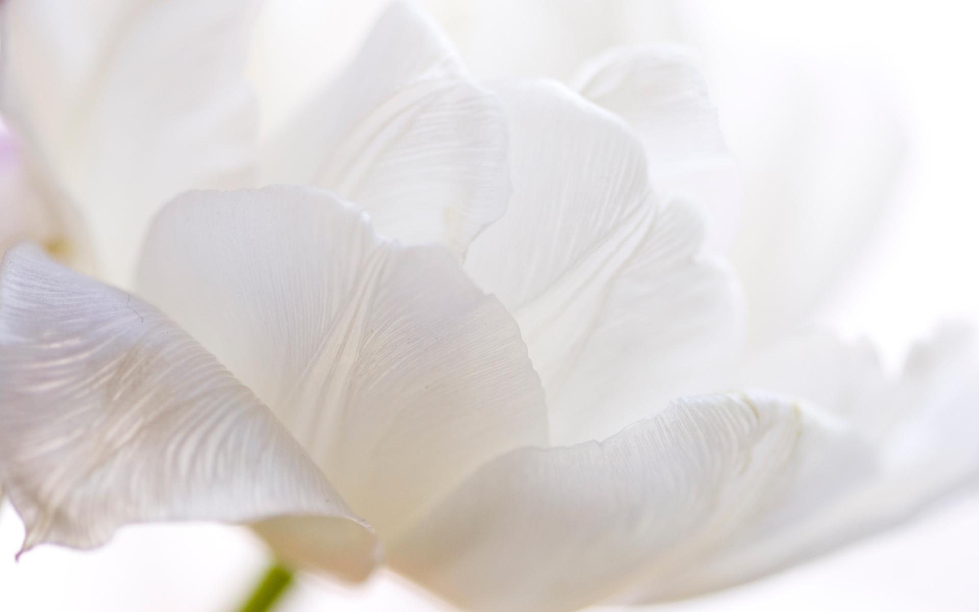 1920x1200 White Flower Wallpaper Fullscreen Download 1920x1080