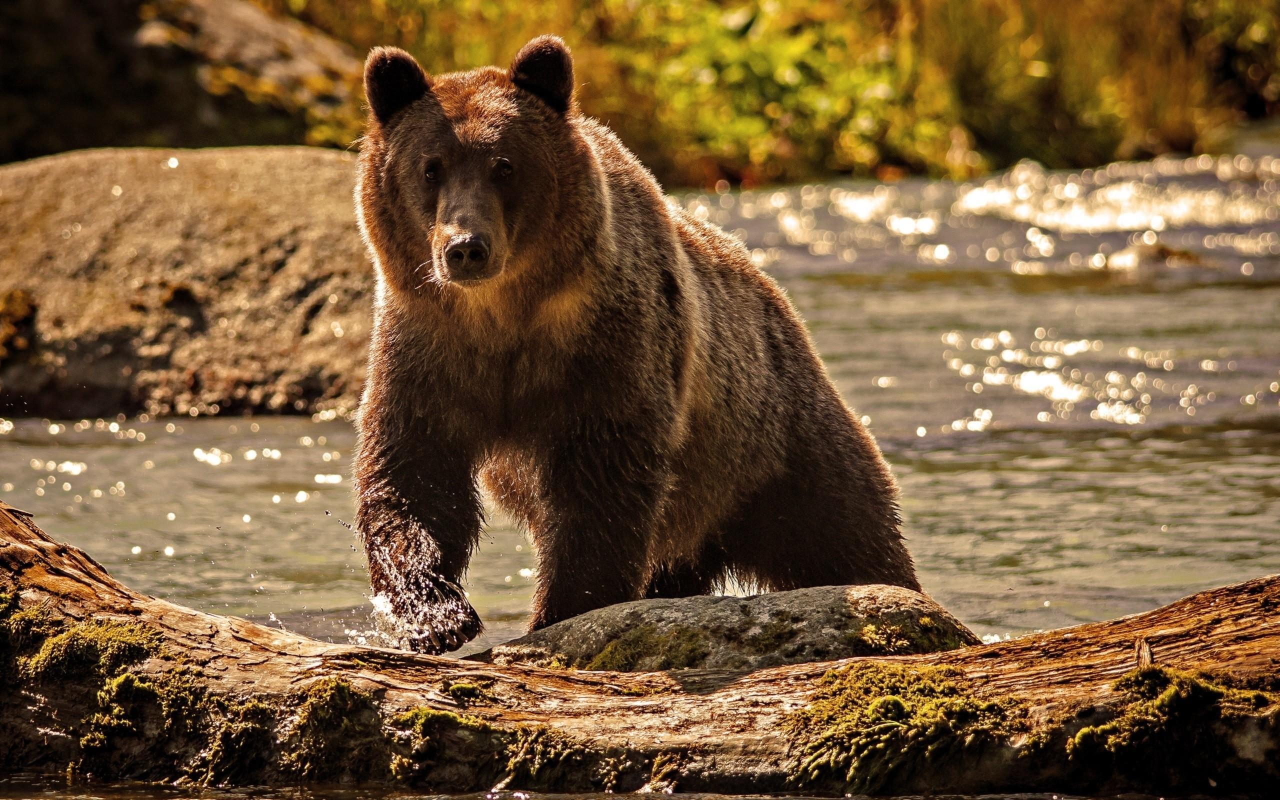 Bear Wallpaper Download Free Stunning High Resolution